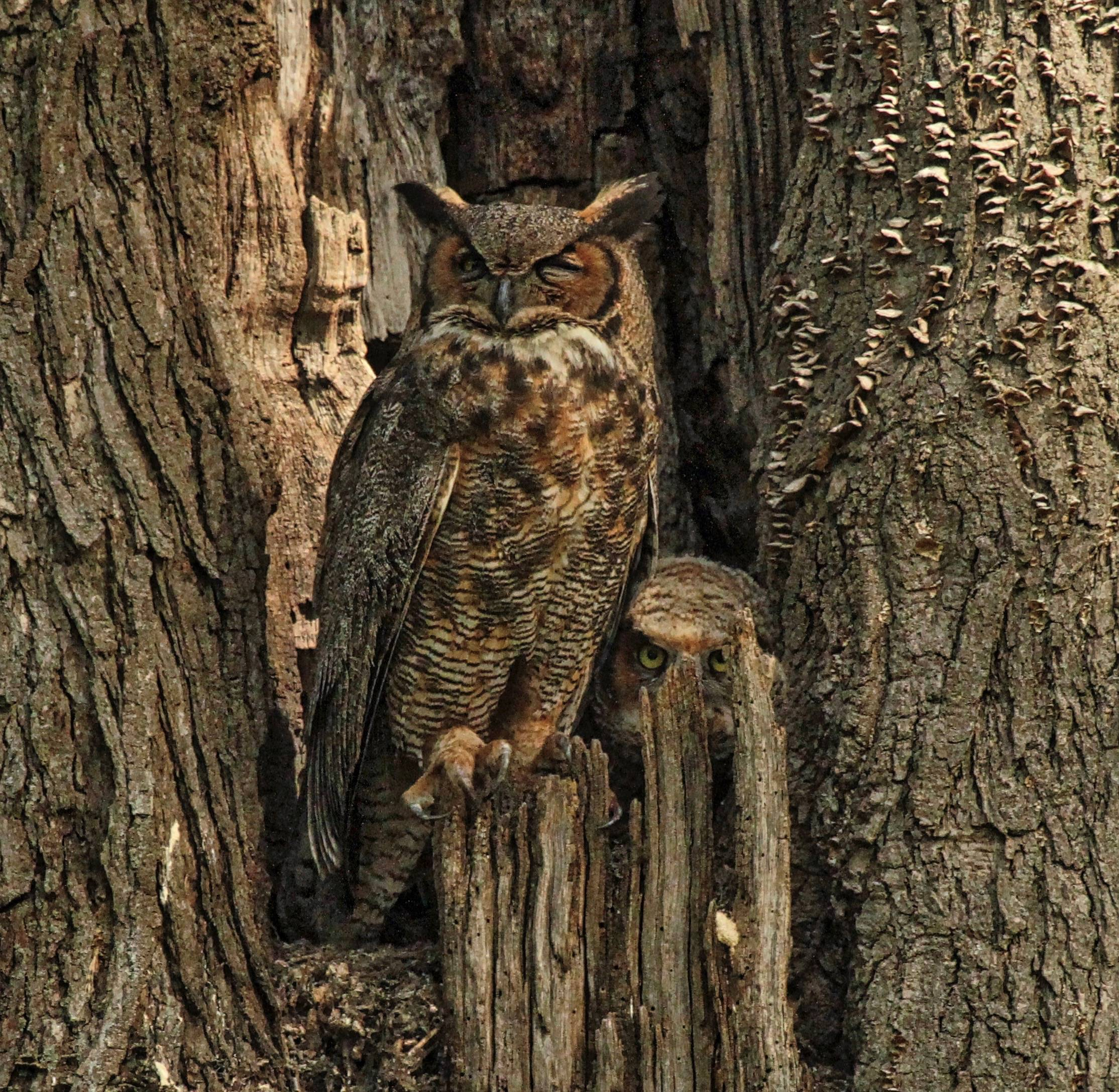 I took this photo of a mother Great Horned Owl with one of her babies in Fabyan park in Batavia.