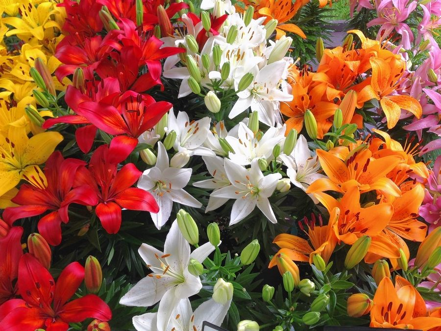 Careful Selection Of Lilies Keeps Them Blooming All Summer