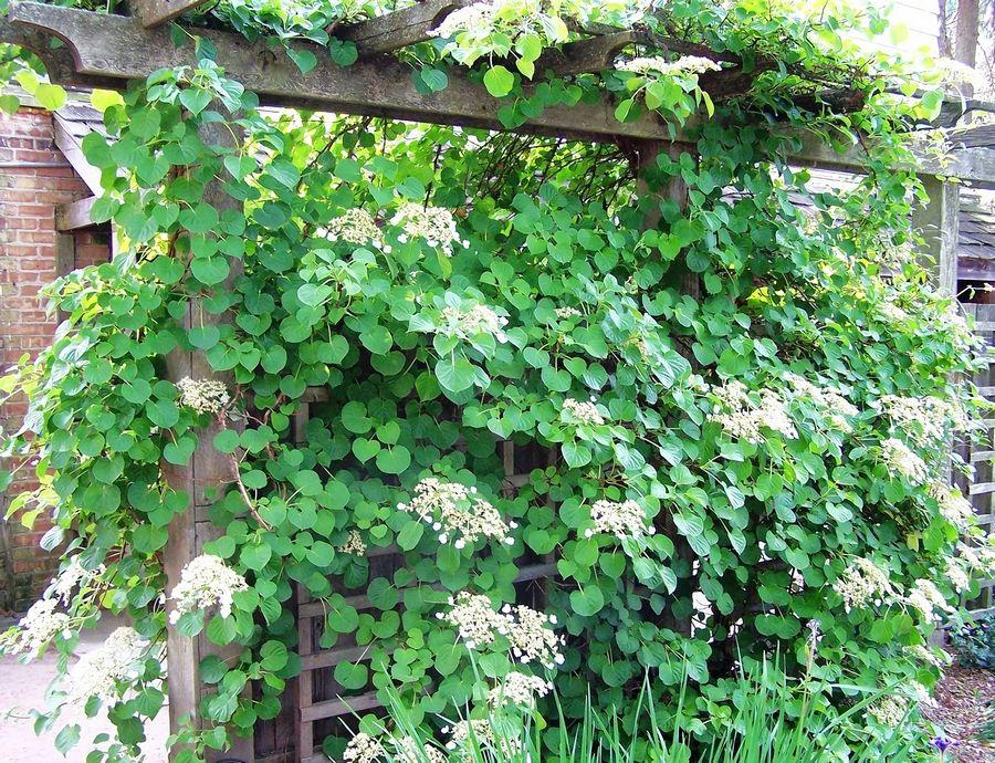 Climbing Hydrangeas Are Vines For The Shade Garden