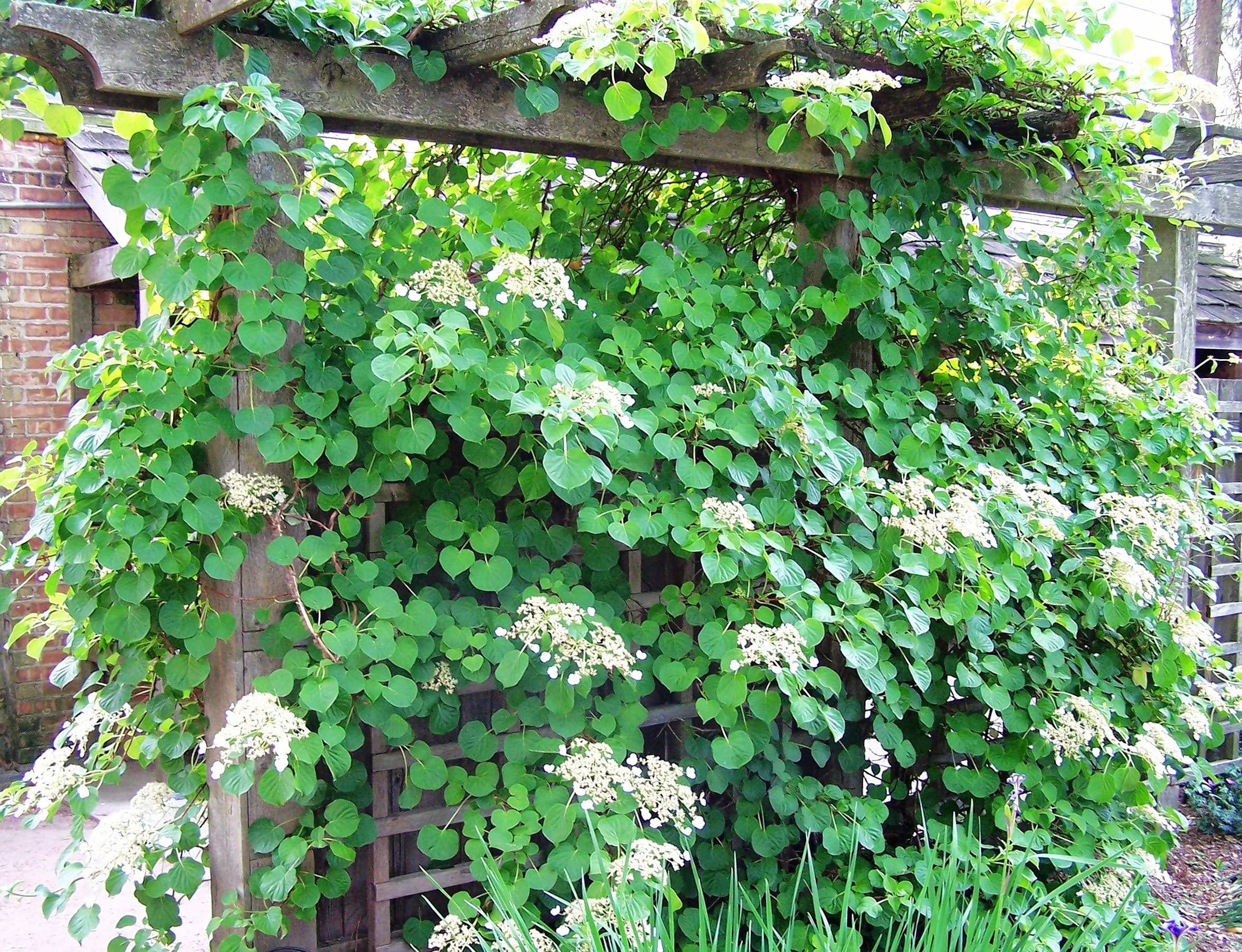 Climbing Hydrangeas Grow Across Pergolas And Fences, Clamber Up Trees,  Sprawl Over Stone Walls