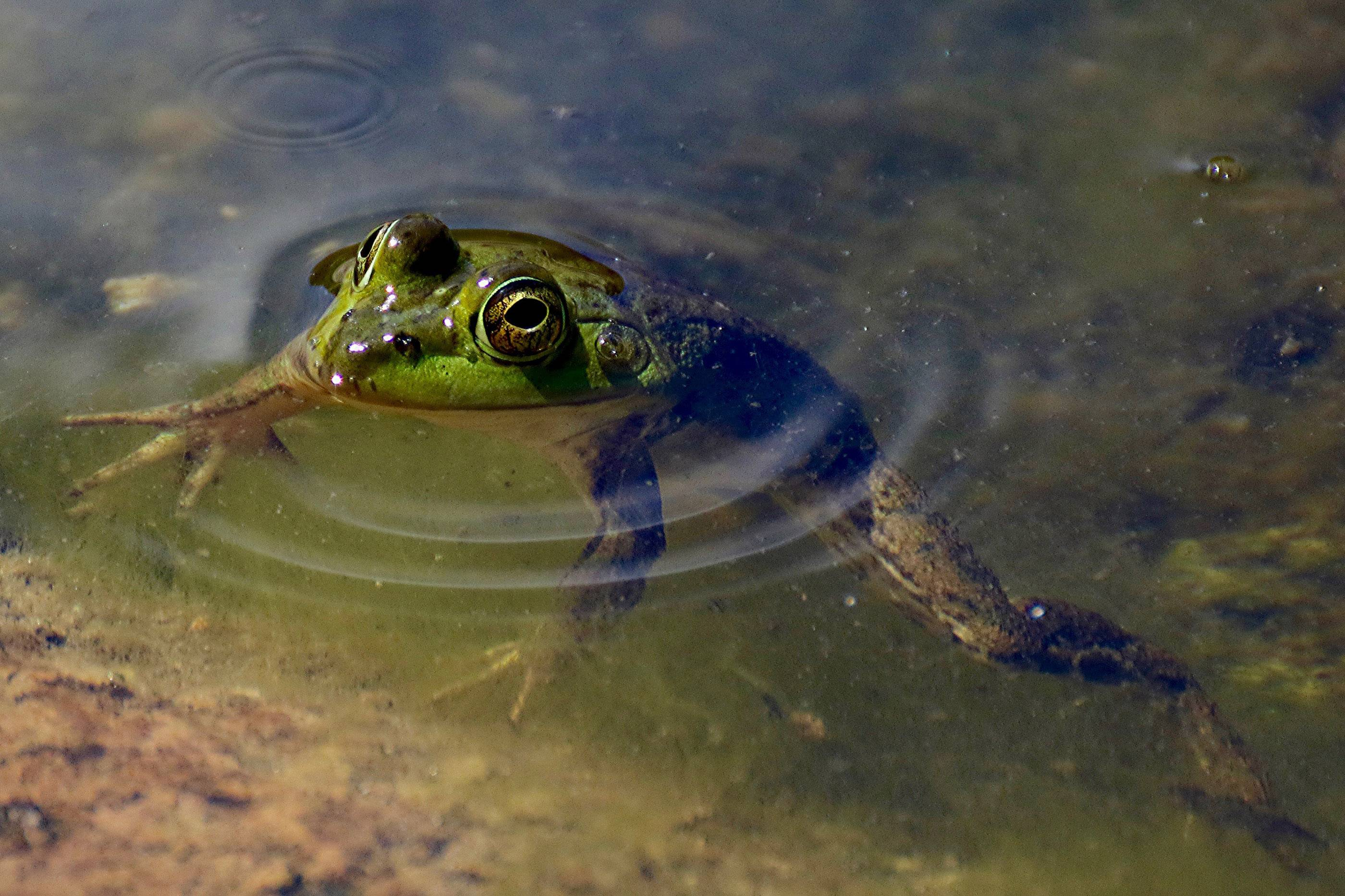 A frog peeks up from a pond in the Idea Garden area of Cantigny Park, Wheaton.