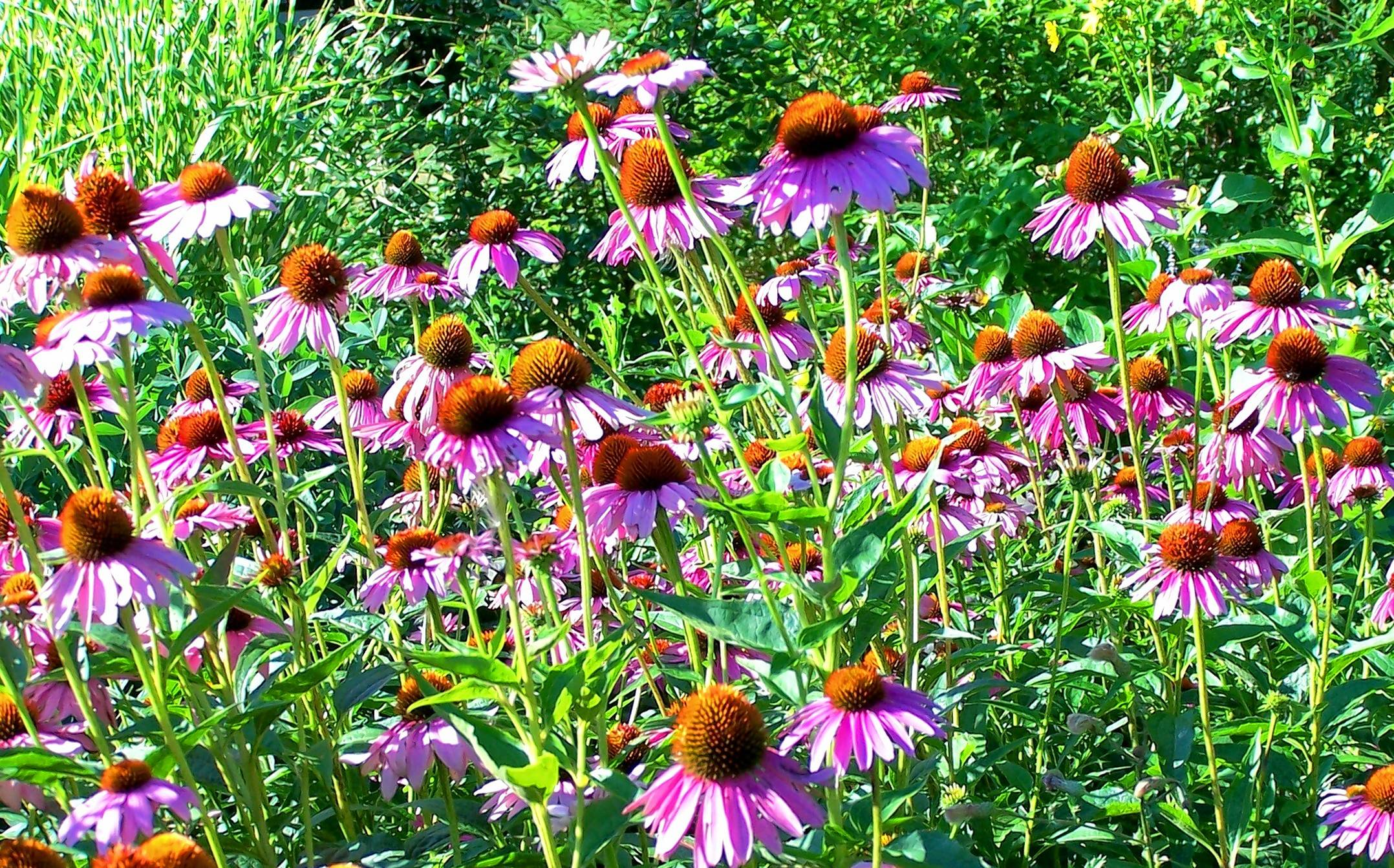 No Sunny Garden Should Be Without Echinacea Purpurea Magnus.