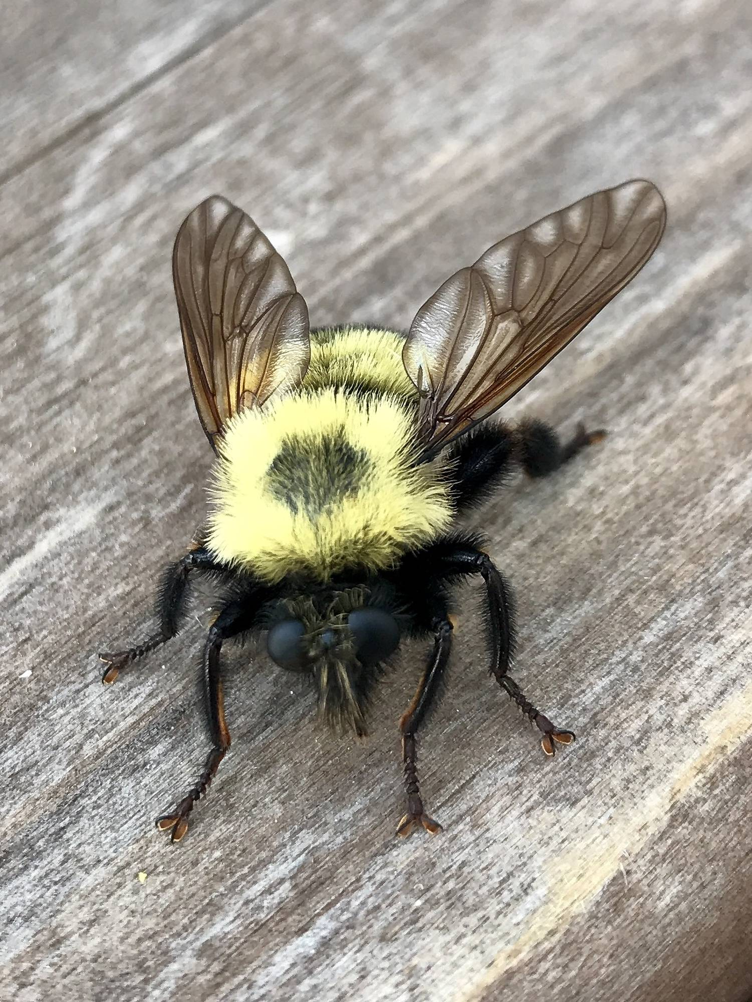 This bubble bee took a rest at our BBQ and didn't mind me getting up close to take a photograph. Our guests were amazed to see the detail and what a fascinating creature the bee really is!