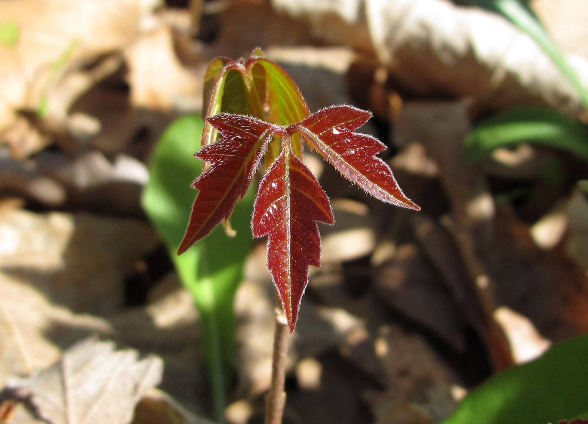 "Poison ivy is one of the least-loved native plants in our area. Its telltale ""leaves of three"" reveal beautiful colors in both early spring and fall."