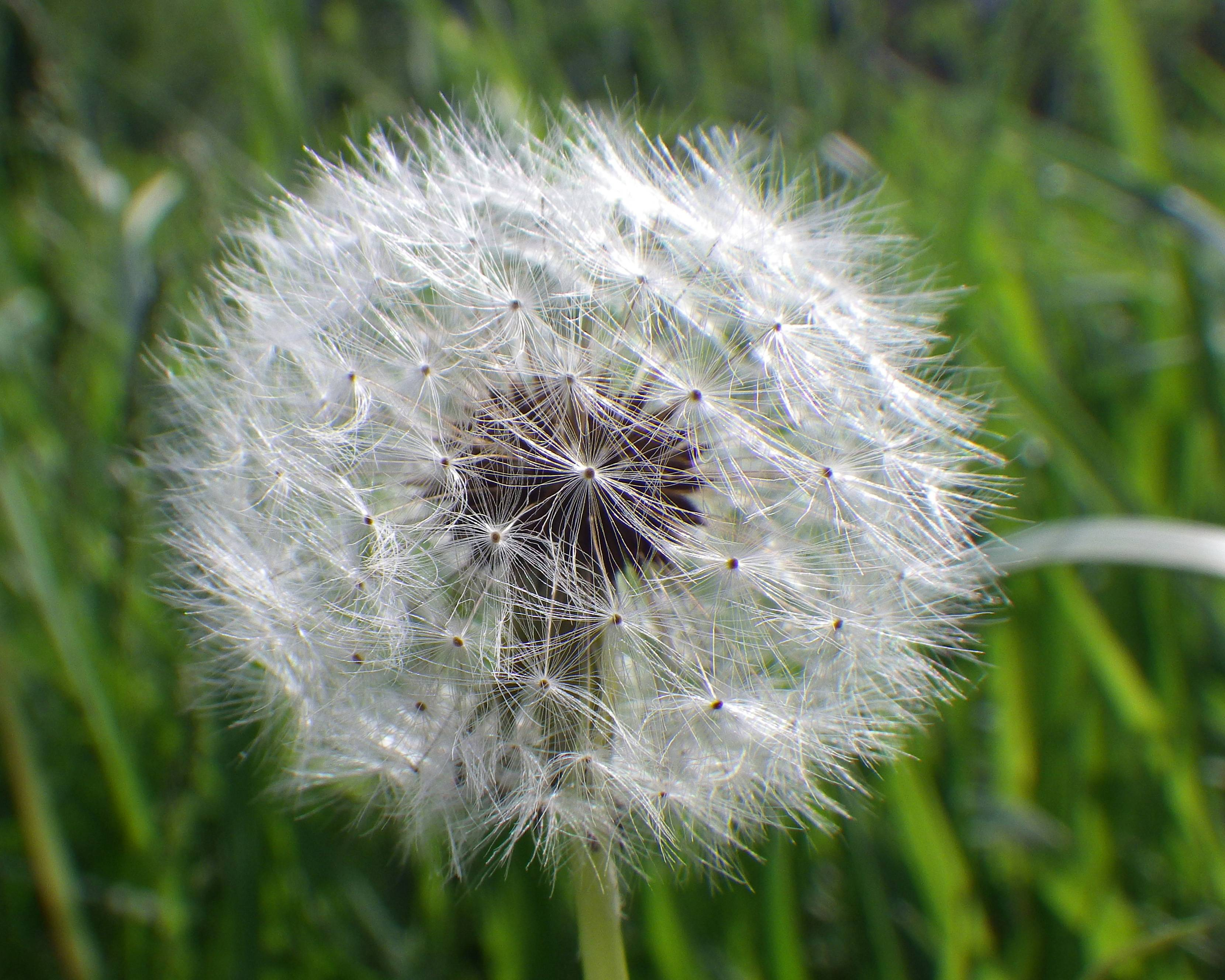 Dandelions are classic weeds of lawn and garden. Their fluffy seed heads are great for making a wish -- and for making new dandelions.