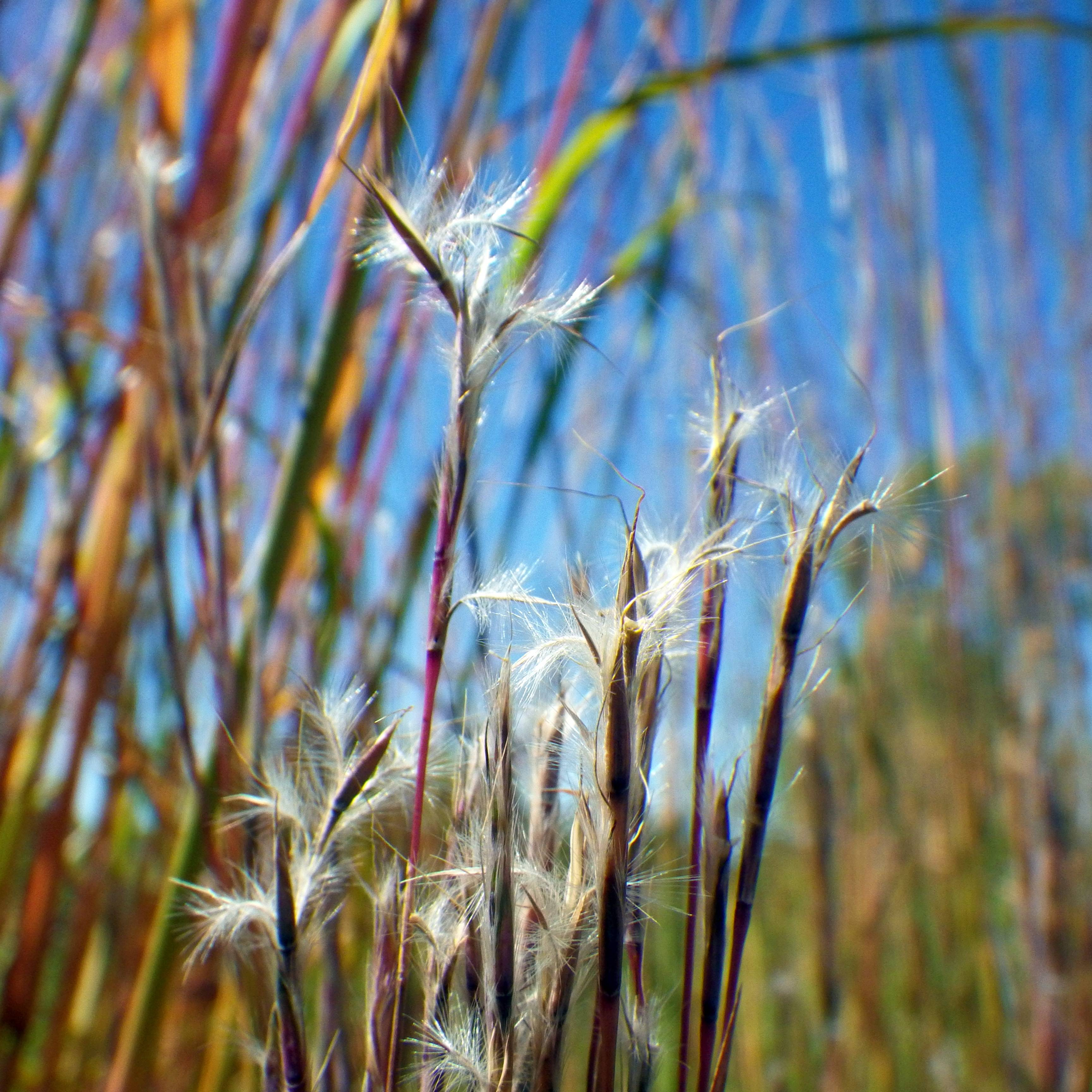 Bad plant? Good plant? Little bluestem is a quality native grass of Illinois prairies.