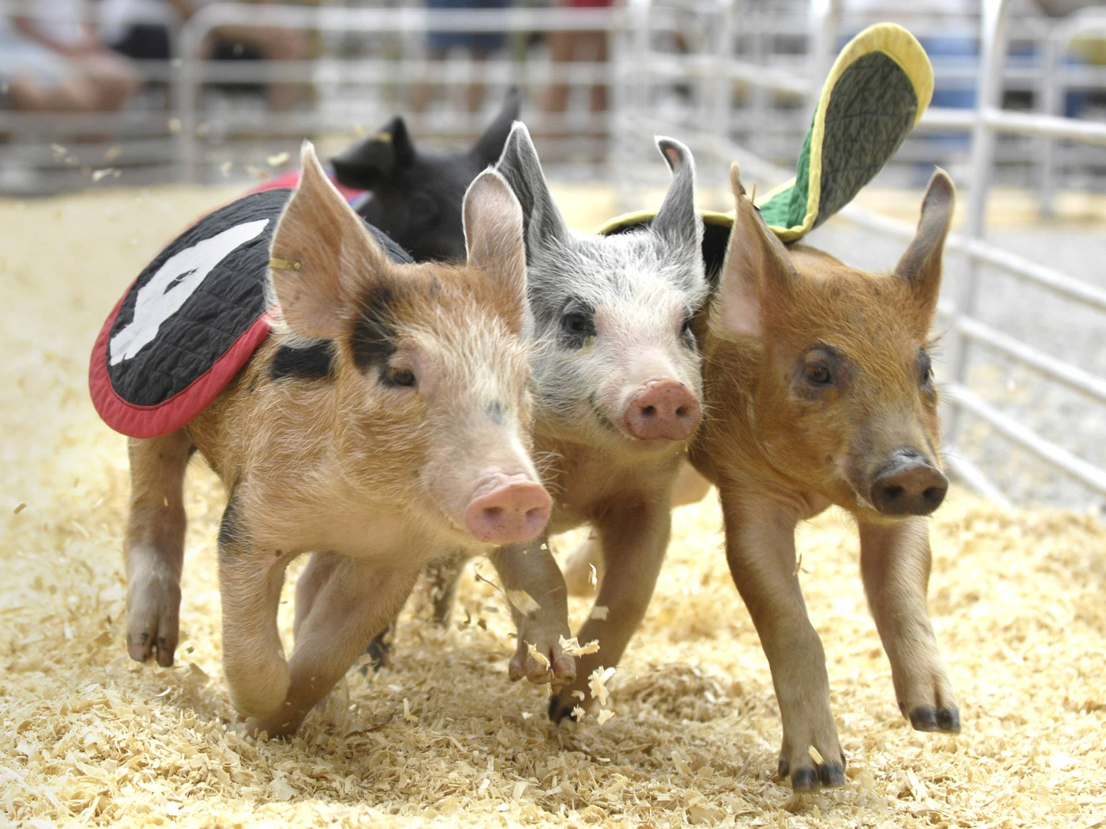 Swifty Swine Racing Pigs return to the Kane County Fair in St. Charles.