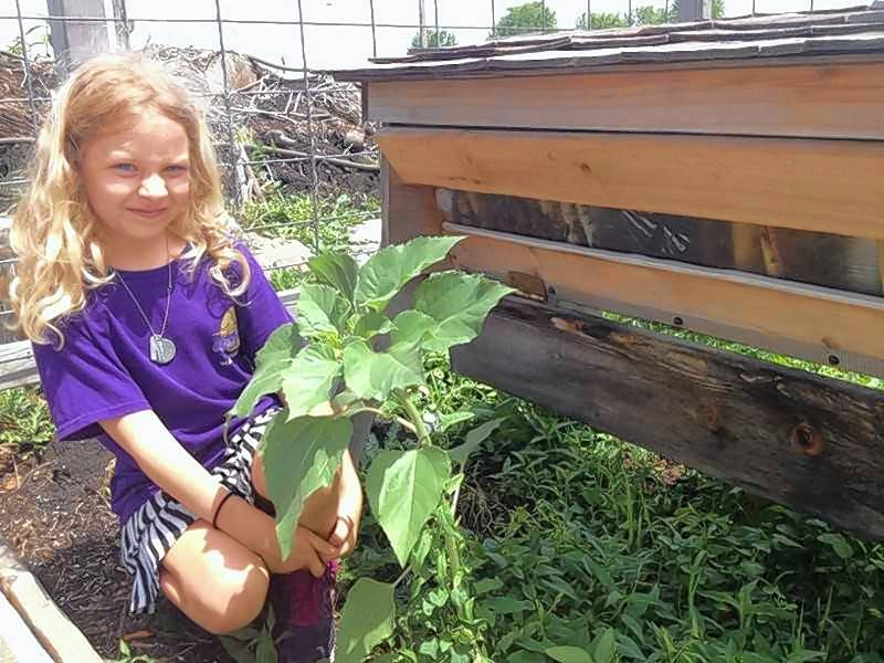 Serena Dodd, 7, takes a peek at the busy bees in the Fremont Township community garden's top bar hive.