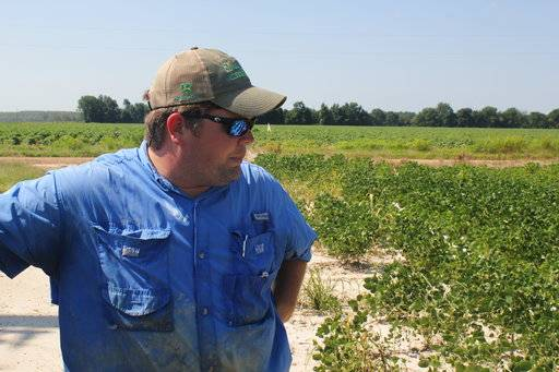 In this Tuesday, July 11, 2017, photo, East Arkansas soybean farmer Reed Storey looks at his field in Marvell, Ark. Storey said half of his soybean crop has shown damage from dicamba, an herbicide that has drifted onto unprotected fields and spawned hundreds of complaints from farmers. (AP Photo/Andrew DeMillo)