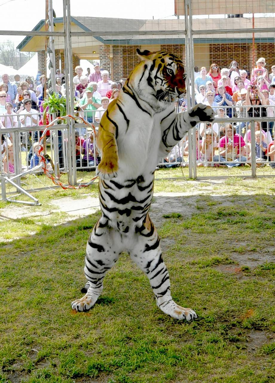 A Bengal tiger show will be featured daily at the 2017 Kane County Fair.