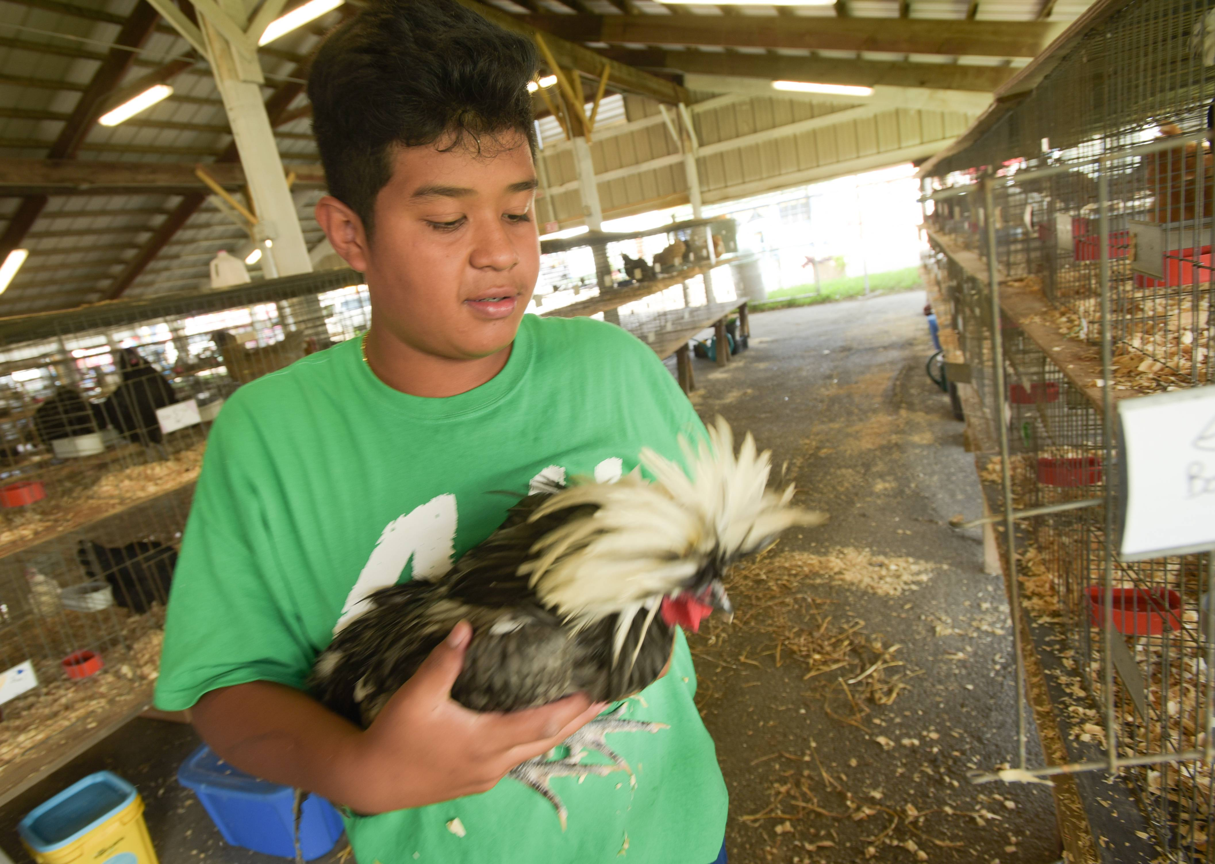 Rony Borowiak, 14, of Warrenville holds one of his Polish Roosters he is entering in the DuPage County Fair. The farm animals arrived in the barns at the DuPage County Fairgrounds on Tuesday.