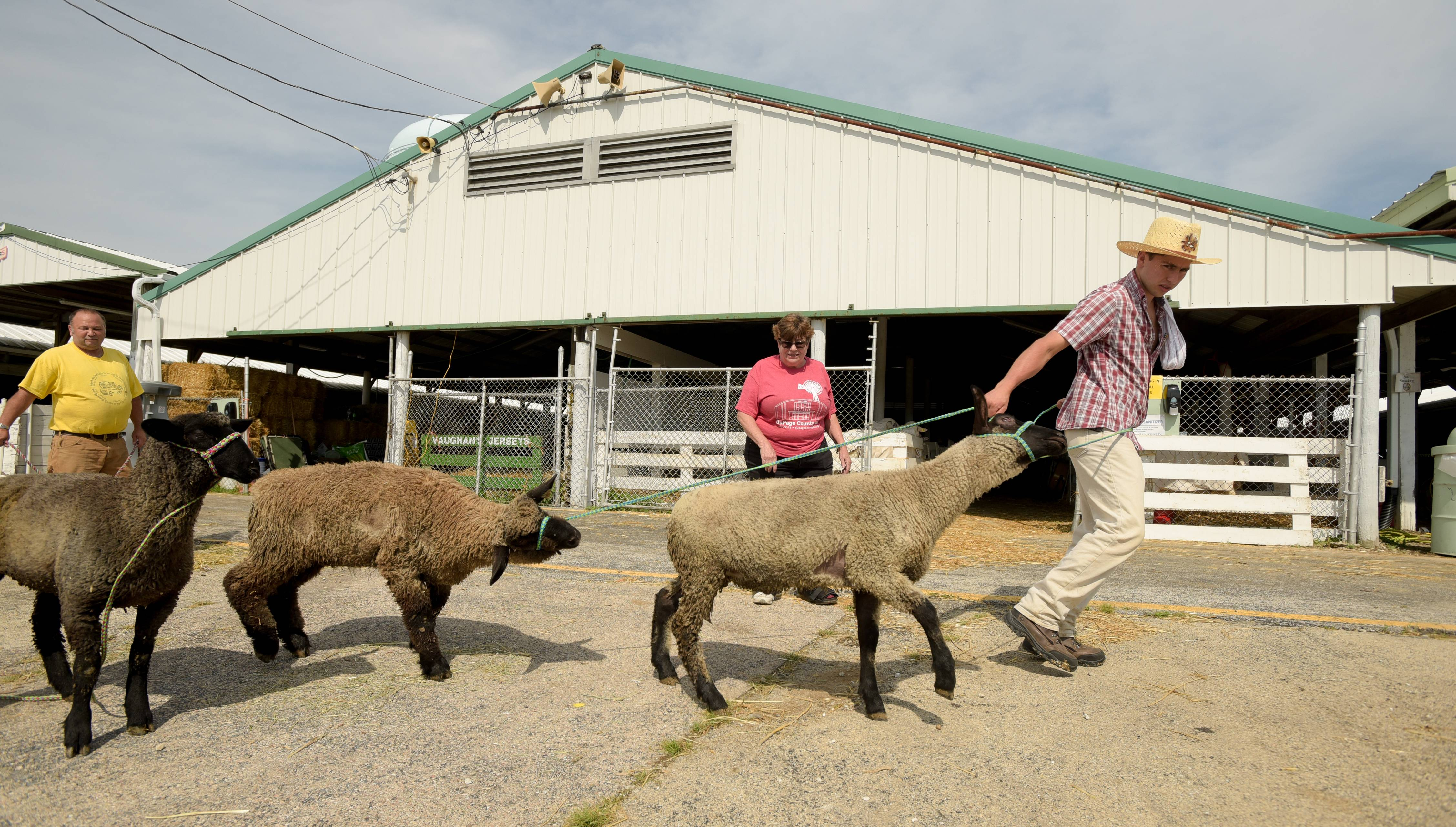 Wilson Nino of Charleston, Ill., helps out by ranging up sheep to be used for the shearing demonstration at the DuPage County Fairgrounds on Tuesday.