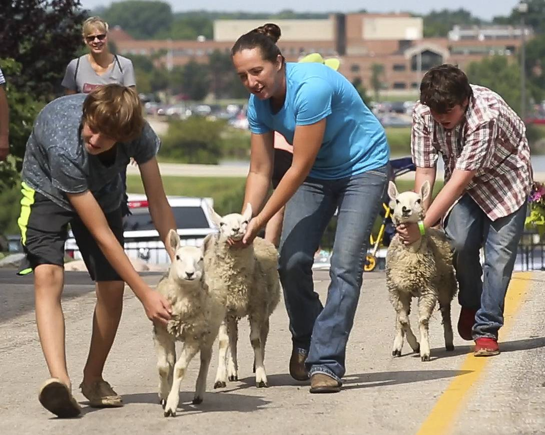 Amanda Manley, center, gets help from Joe Boge and Oli Barraclough as they walk sheep to a tent for Manley's shearing demonstration Wednesday during the opening day of the DuPage County Fair in Wheaton.