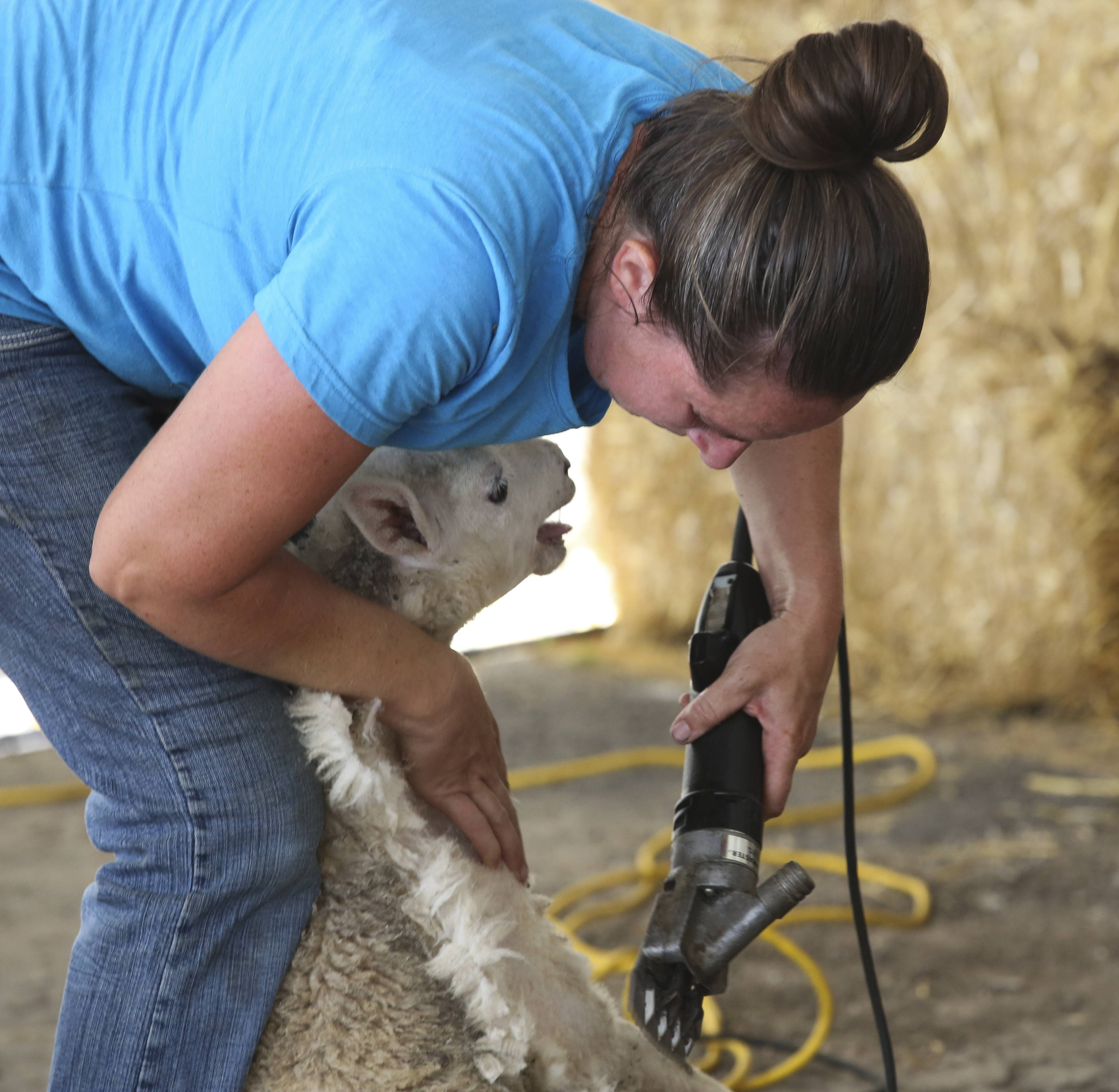 Amanda Manley gives a demonstration of sheep shearing on a Cheviot lamb during the opening day of the DuPage County Fair.