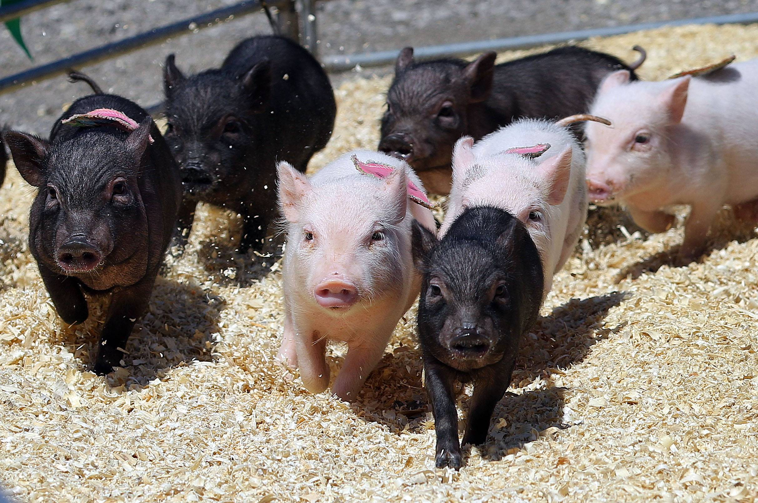 Pigs round the corner during the Ham Bone Express pig races at the Lake County Fair Thursday in Grayslake.