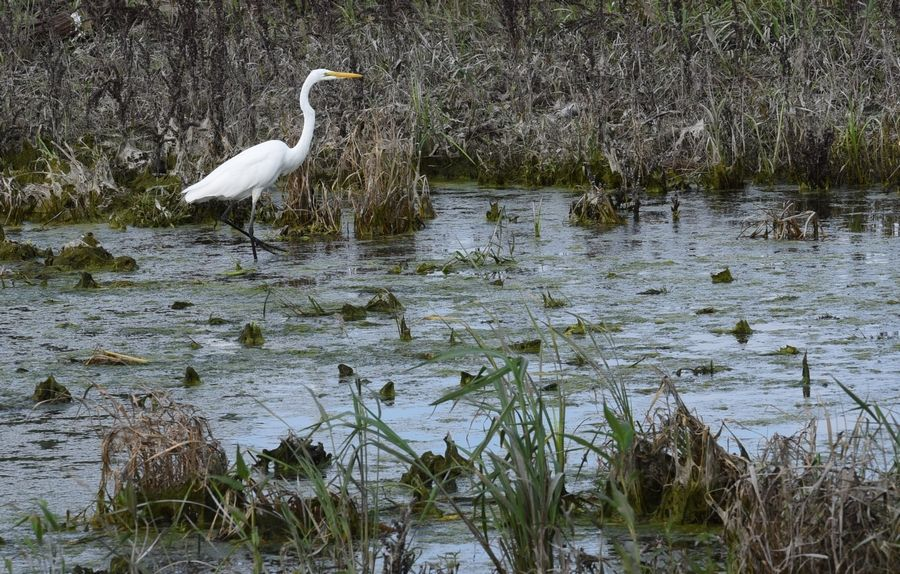 An egret wades through the shallow waters in one of the newly created wetland areas at The Preserve at Oak Meadows golf course in Addison.