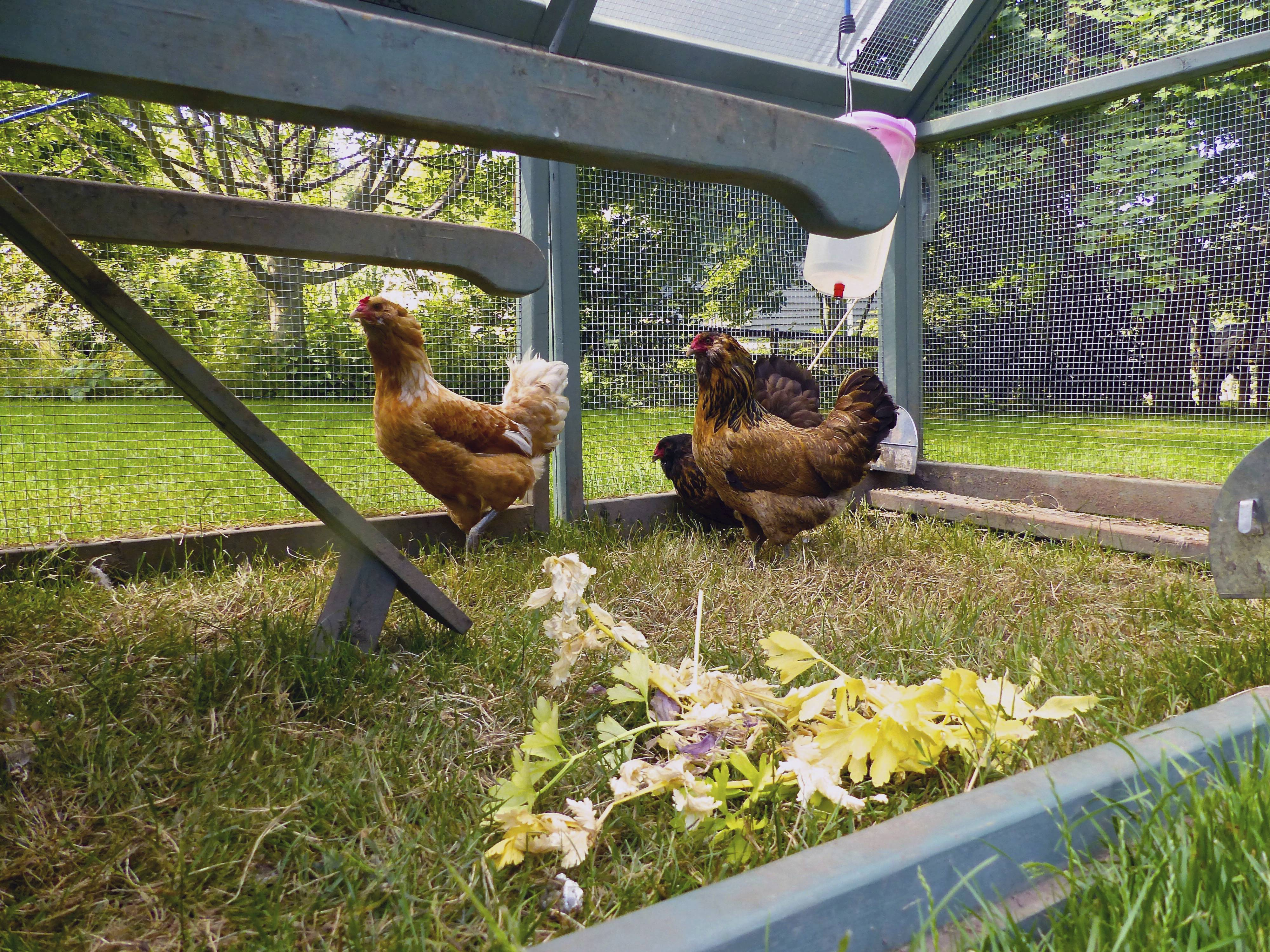 Advocates Say Backyard Chickens Can Be Good For A Garden, Because They Eat  Insects,