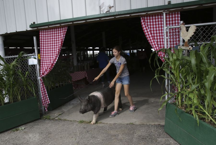 Taylor Rhoads, a 12-year-old from Genoa, won grand champion prizes in the swine competition at the DuPage County Fair. She took her pig for a walk during the fair's opening day in Wheaton July 26.