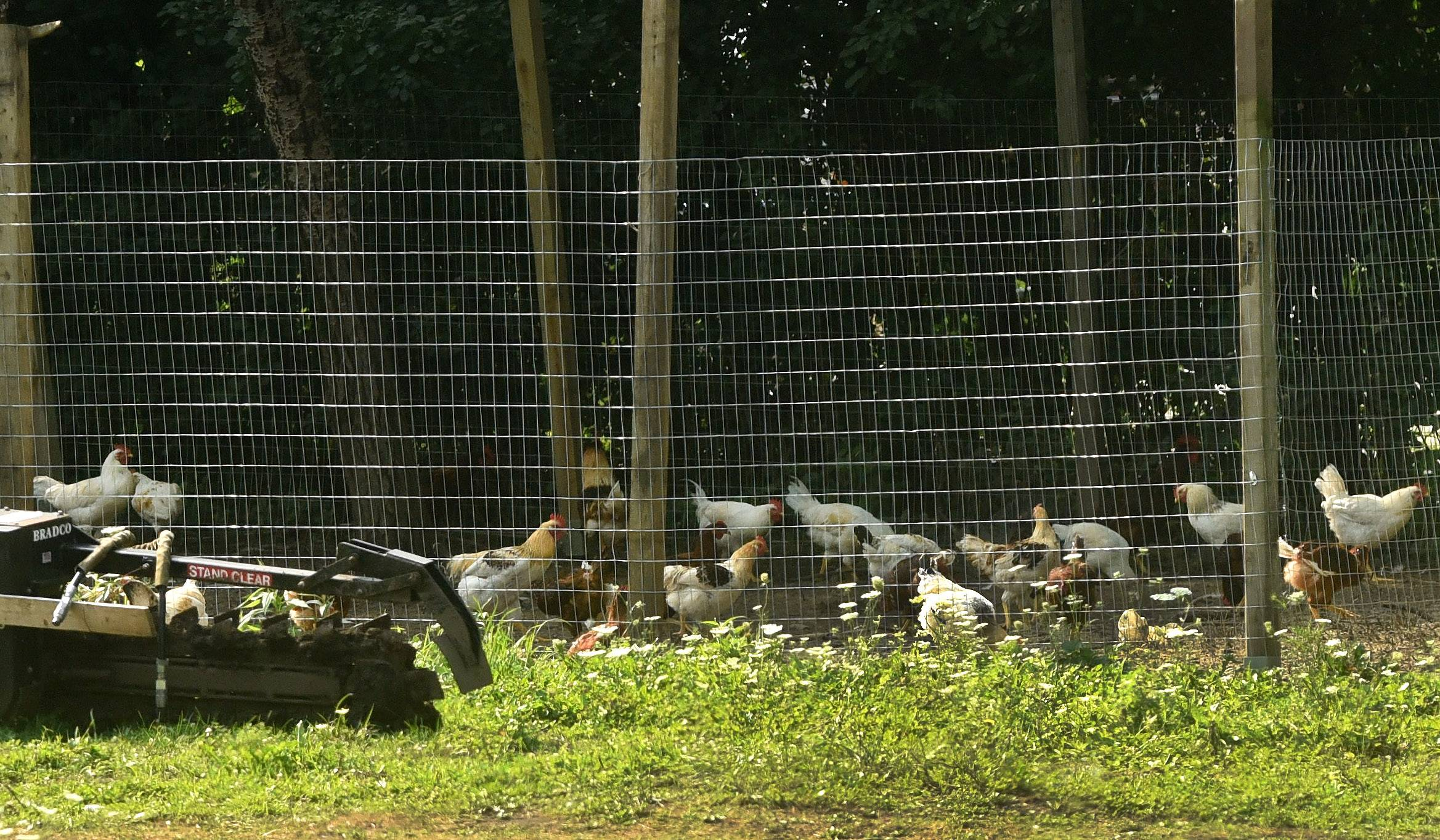 Hundreds of chickens legally roam unincorporated property at the southwest corner of Scott Road and Route 59 on North Barrington's border. Some residents oppose a plan to create a large-scale poultry farm for thousands of chickens there for egg production.