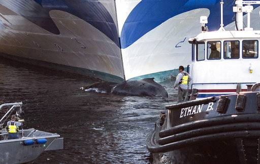 Amak Towing Company tugboat Ethan B. pulls a dead humpback whale from the bow of the Grand Princess cruise ship Wednesday, Aug. 9, 2017, in Ketchikan, Alaska. Authorities said they found the whale on the submerged, bulbous bow of the Grand Princess after it entered the harbor in Ketchikan, near the southern tip of the Alaska Panhandle. (Taylor Balkom/Ketchikan Daily News via AP)