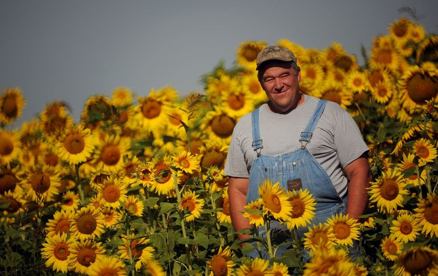 Russ Grollemond of Sycamore stands in one of two sunflower fields in Barrington Hills. The seeds will have a variety of uses, including for bird feed.