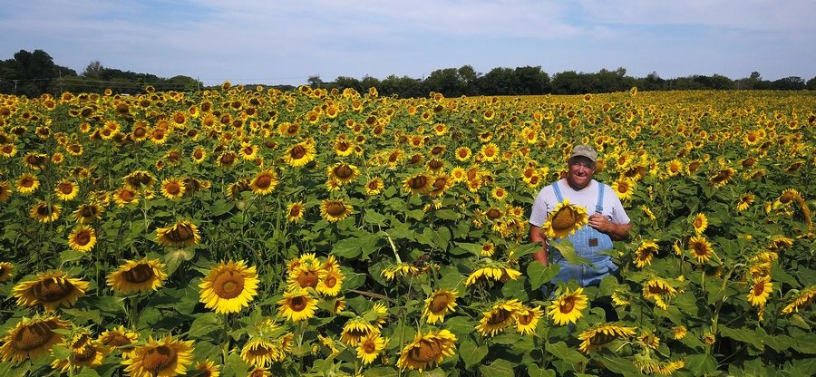 Russ Grollemond of Sycamore stands in one of two sunflower fields in northwest Barrington Hills. The 50 acres of plants help to make the soil chemical-free.