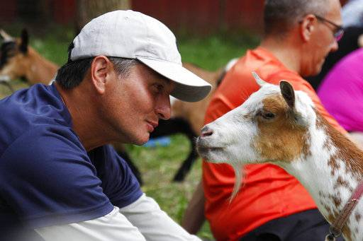 In this photo taken July 19, 2017, Greg Wong looks at a goat during a goat yoga session at Oak Hollow Acres Farm in Burlington, Wis. Yoga classes are popping up across the country that are including the playful goats. (AP Photo/Carrie Antlfinger)