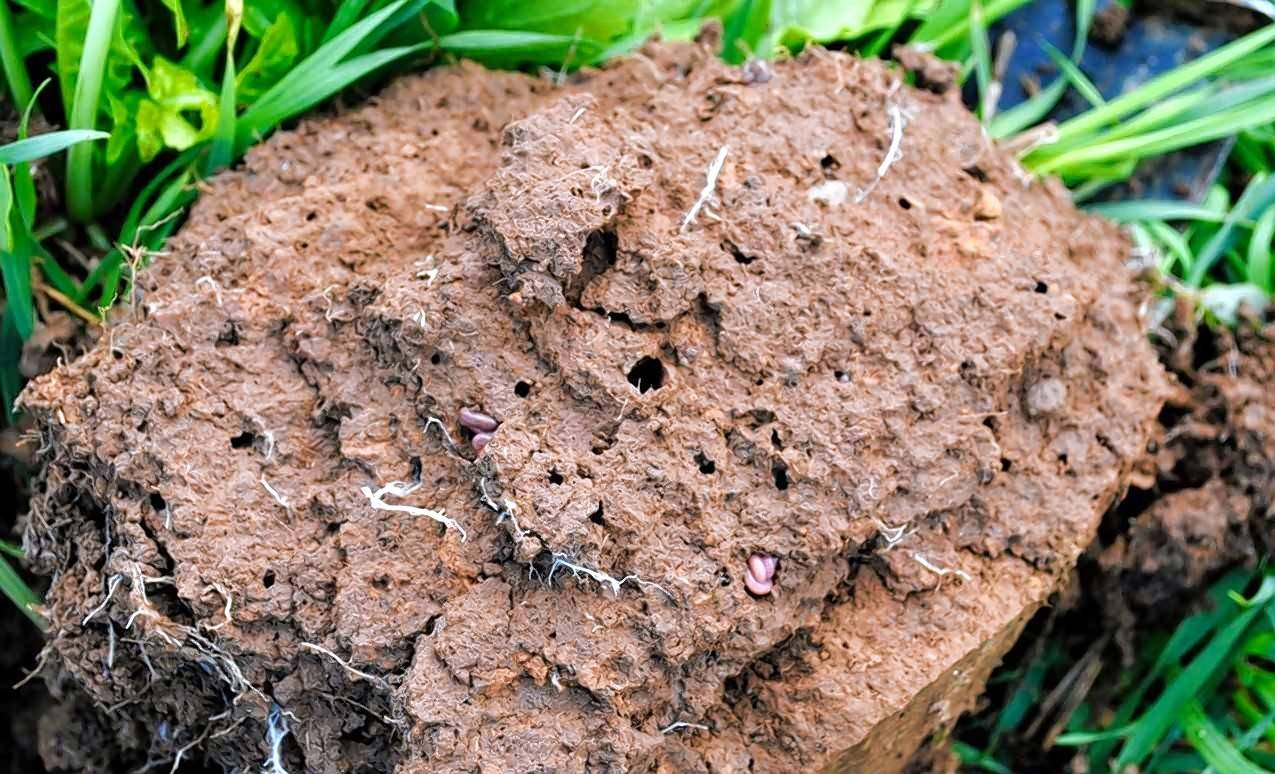 Earthworms squirm through a clump of dirt. There are quite a few benefits to the worms burrowing into garden soil, including fertilizing plants and letting air circulate through soil.