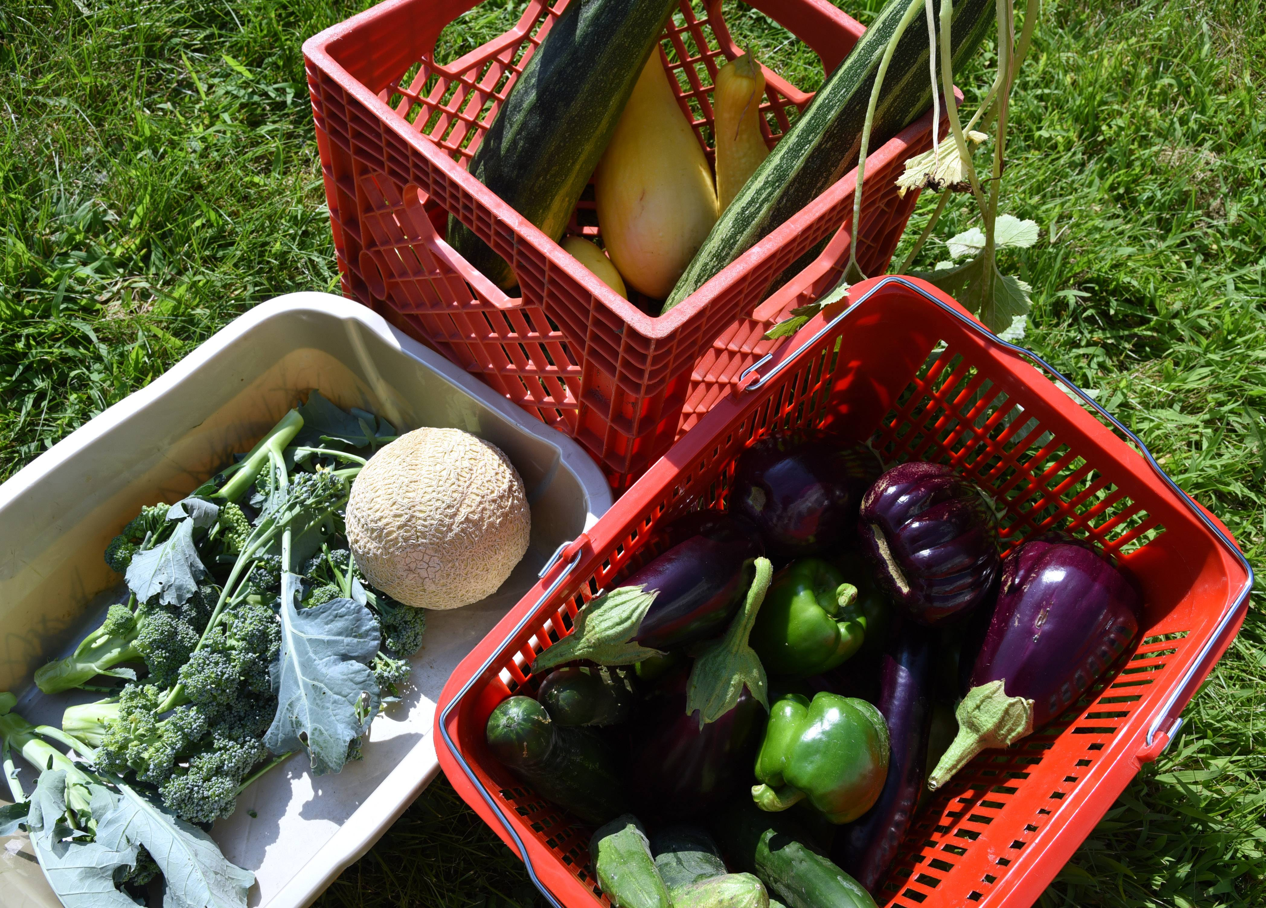 Here are some of the vegetables picked Tuesday from the Fremont Elementary School gardens in Mundelein. The items will be donated to the Fremont Township Food Pantry.