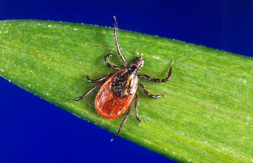 "In this undated photo provided by the U.S. Centers for Disease Control and Prevention (CDC), a blacklegged tick - also known as a deer tick. Diagnosing if a tick bite caused Lyme or something else can be difficult but scientists are developing a new way to catch the disease early, using a ""signature"" of molecules in patients' blood. (CDC via AP)"