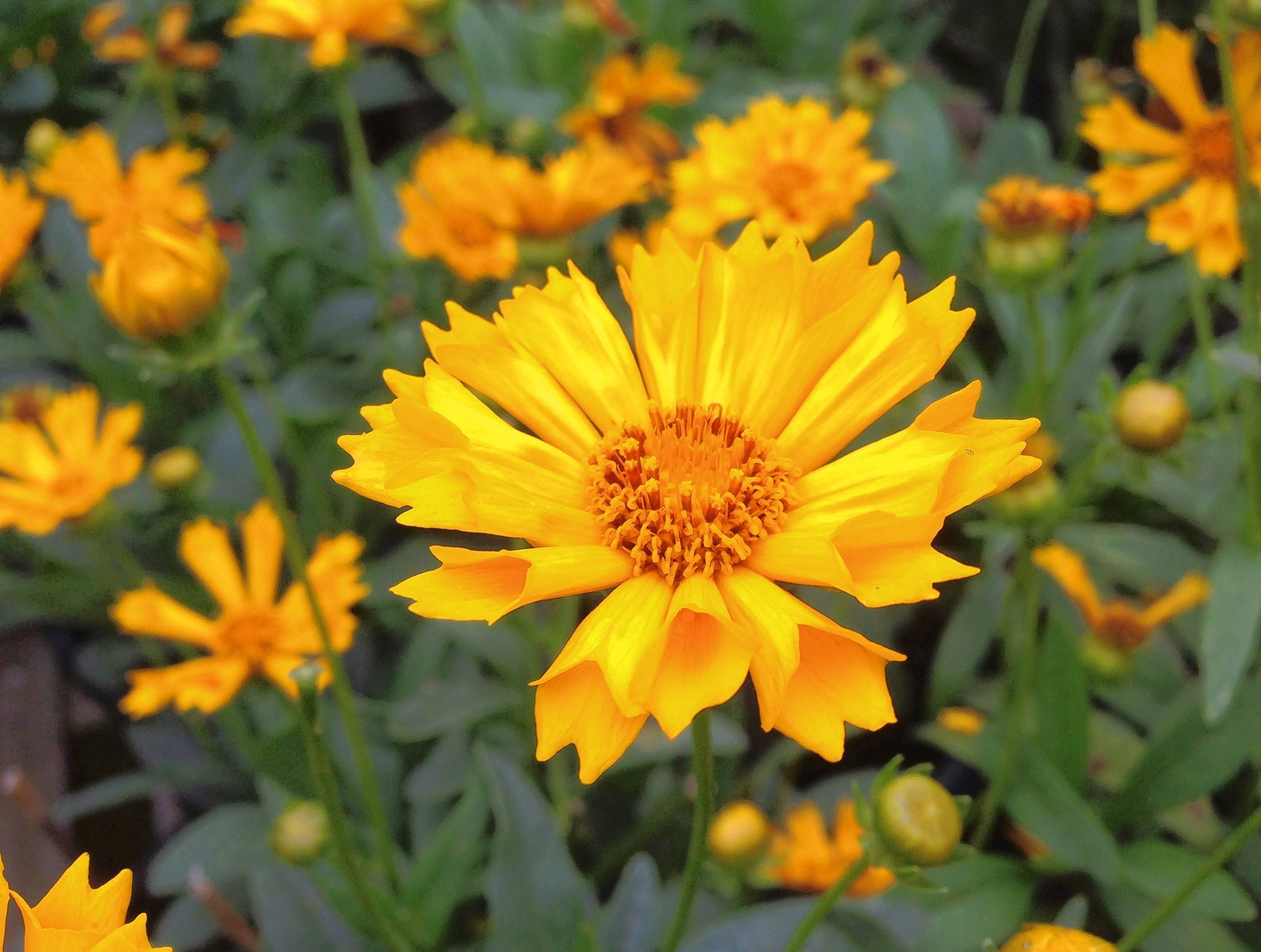 "Coreopsis ""Jethro Tull"" shows off fluted petals."