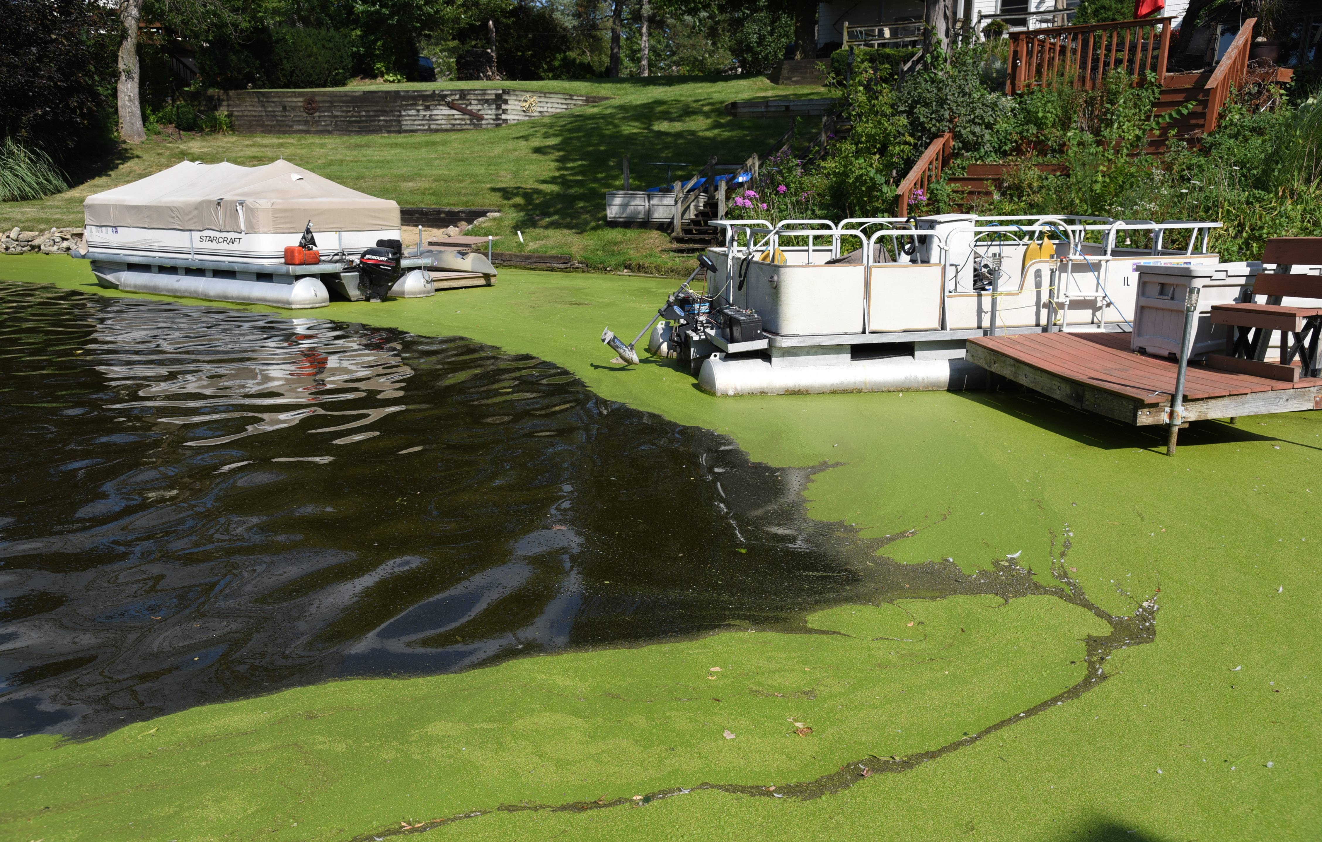 Algae is prevalent on the shoreline of Island Lake's namesake lake near Island Drive. In an effort to improve the lake's quality, Island Lake could become the latest town to restrict the use of fertilizers containing phosphorous.