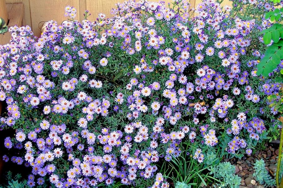 Asters Fill The Fall Garden With Flowers