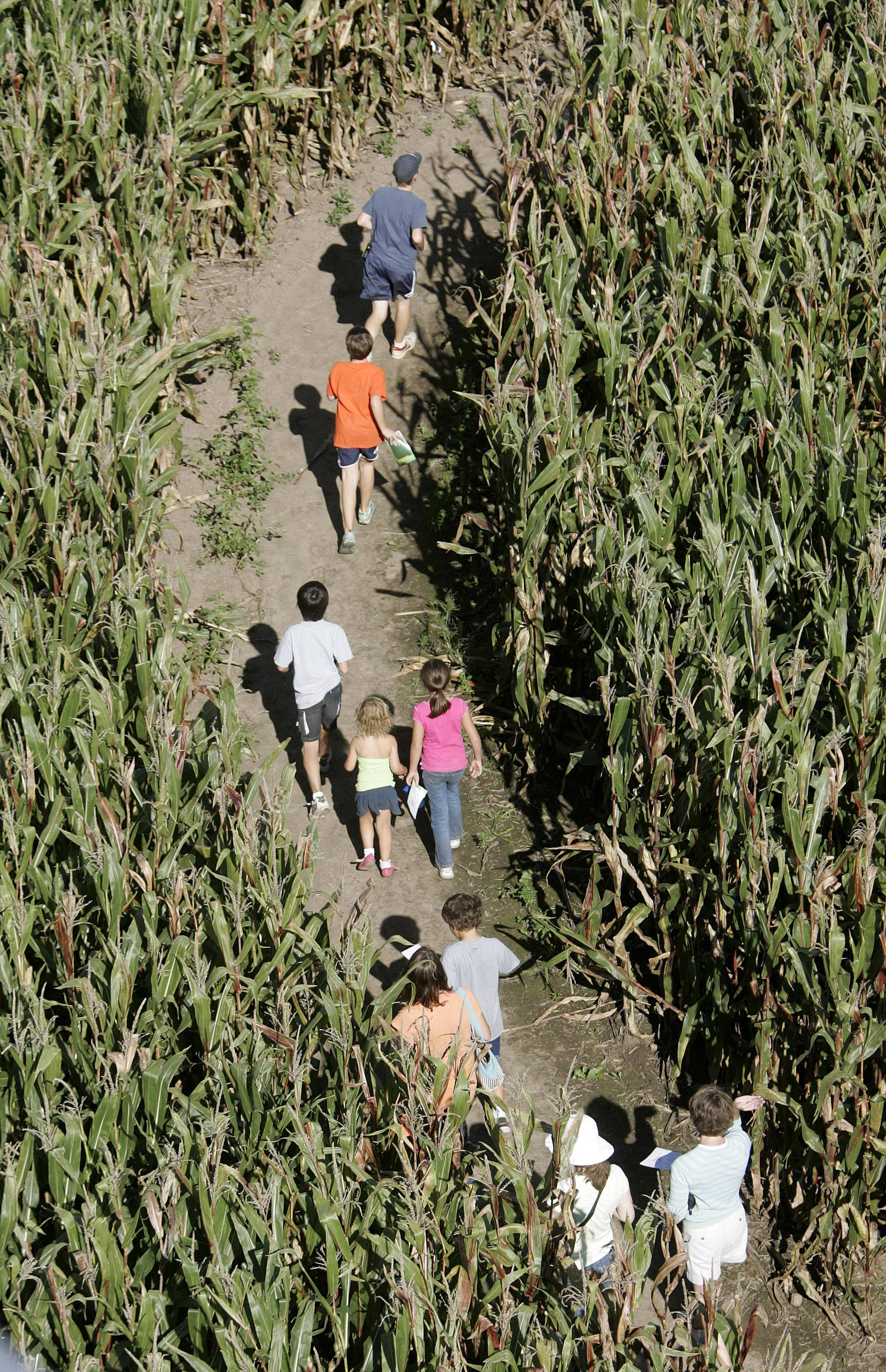 Visitors navigate the Richardson Farm corn maze in Spring Grove.