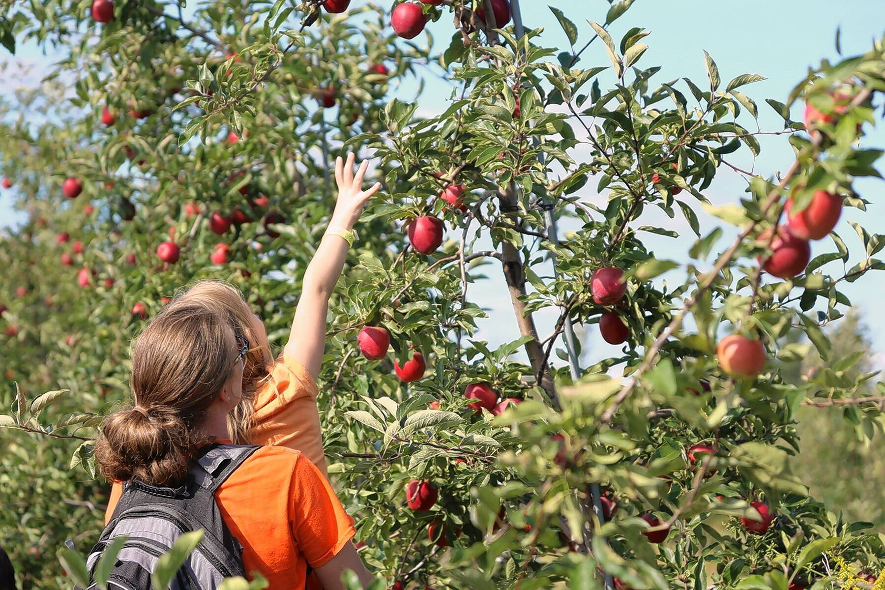 A child is helped to pick an apple from a tall branch at All Seasons Orchard in Woodstock.