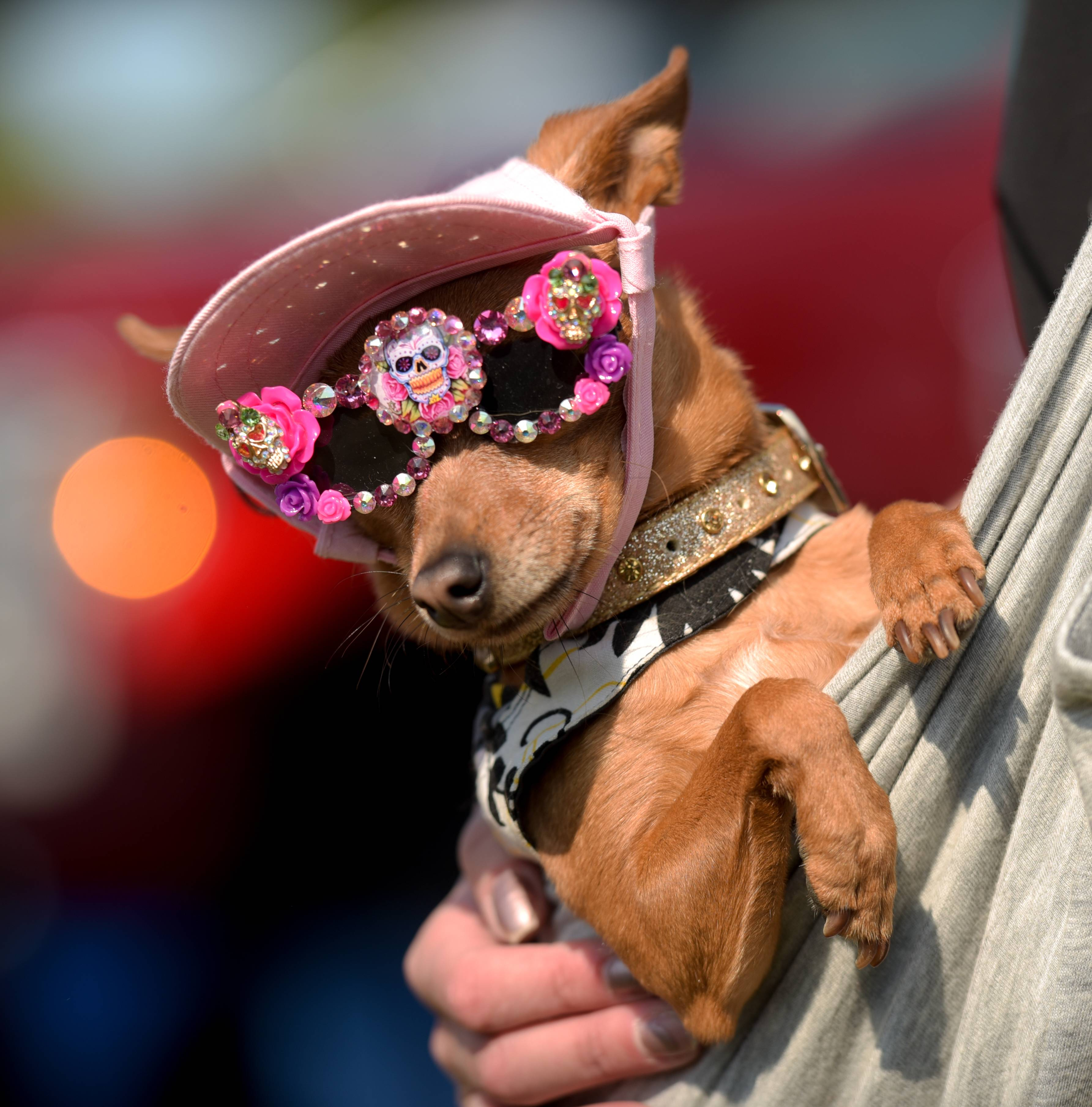 At left, Chihuahua Min Pin mix Tori sports some stylish sunglasses from Pampered Pooch Couture during the annual CSBarks dog festival Sunday in Carol Stream.