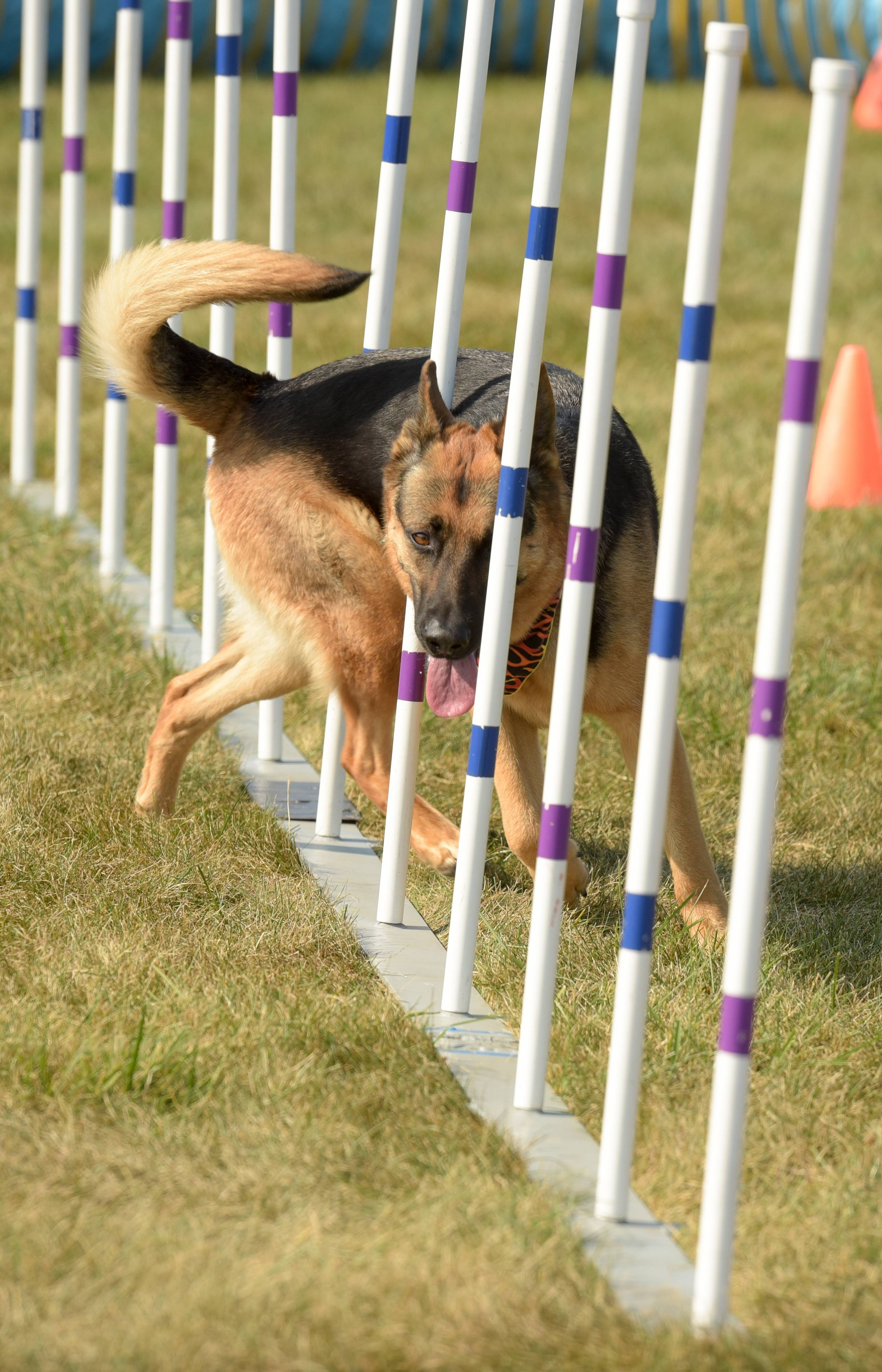 Above, German shepherd Bellalena works the agility course Sunday with her handler Lou Bucker of Hanover Park.