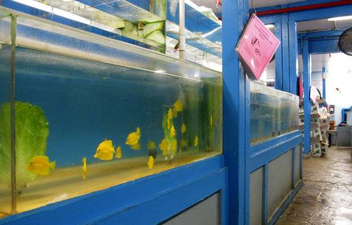 FILE - This June 25, 2014, file photo shows yellow tang aquarium fish in a tank at a store in Aiea, Hawaii. A Hawaii Supreme Court ruling on Sept. 6, 2017, is halting the commercial collection of reef fish for aquariums until the state reviews the trade's environmental impacts. (AP Photo/Audrey McAvoy)