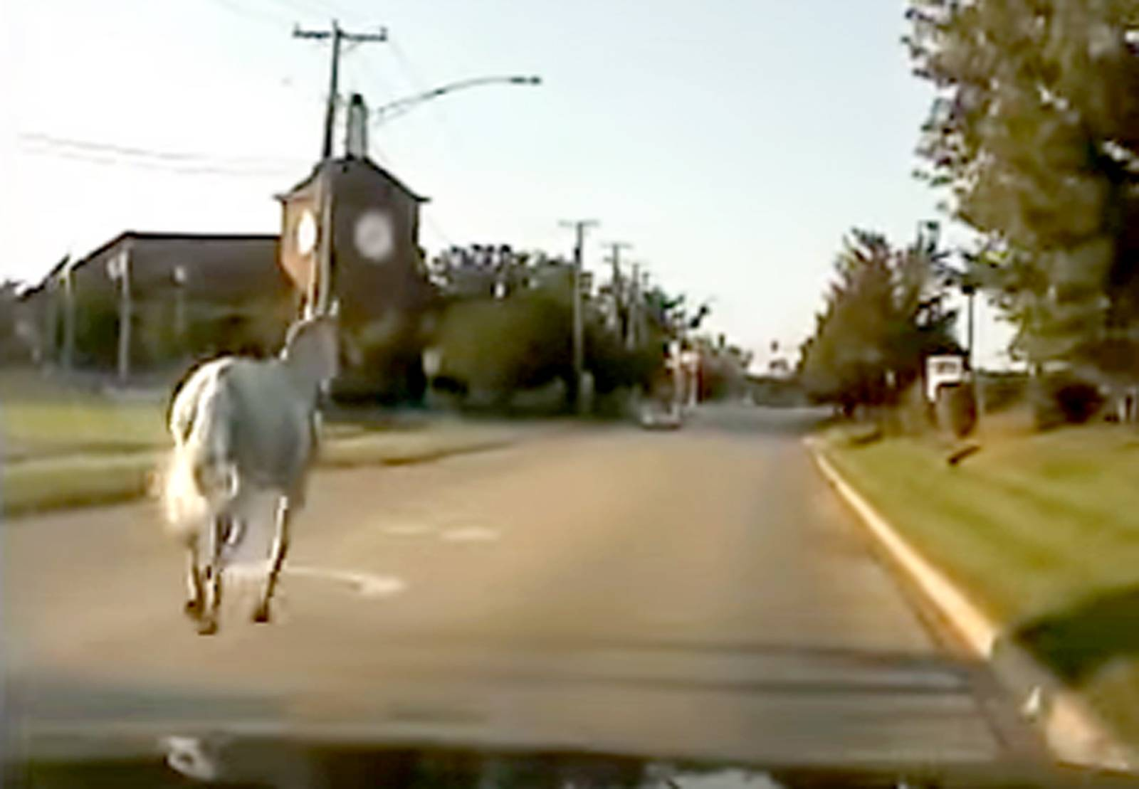 See dashcam footage from a Wauconda police car in pursuit of a horse that broke free and ran through the village Tuesday.