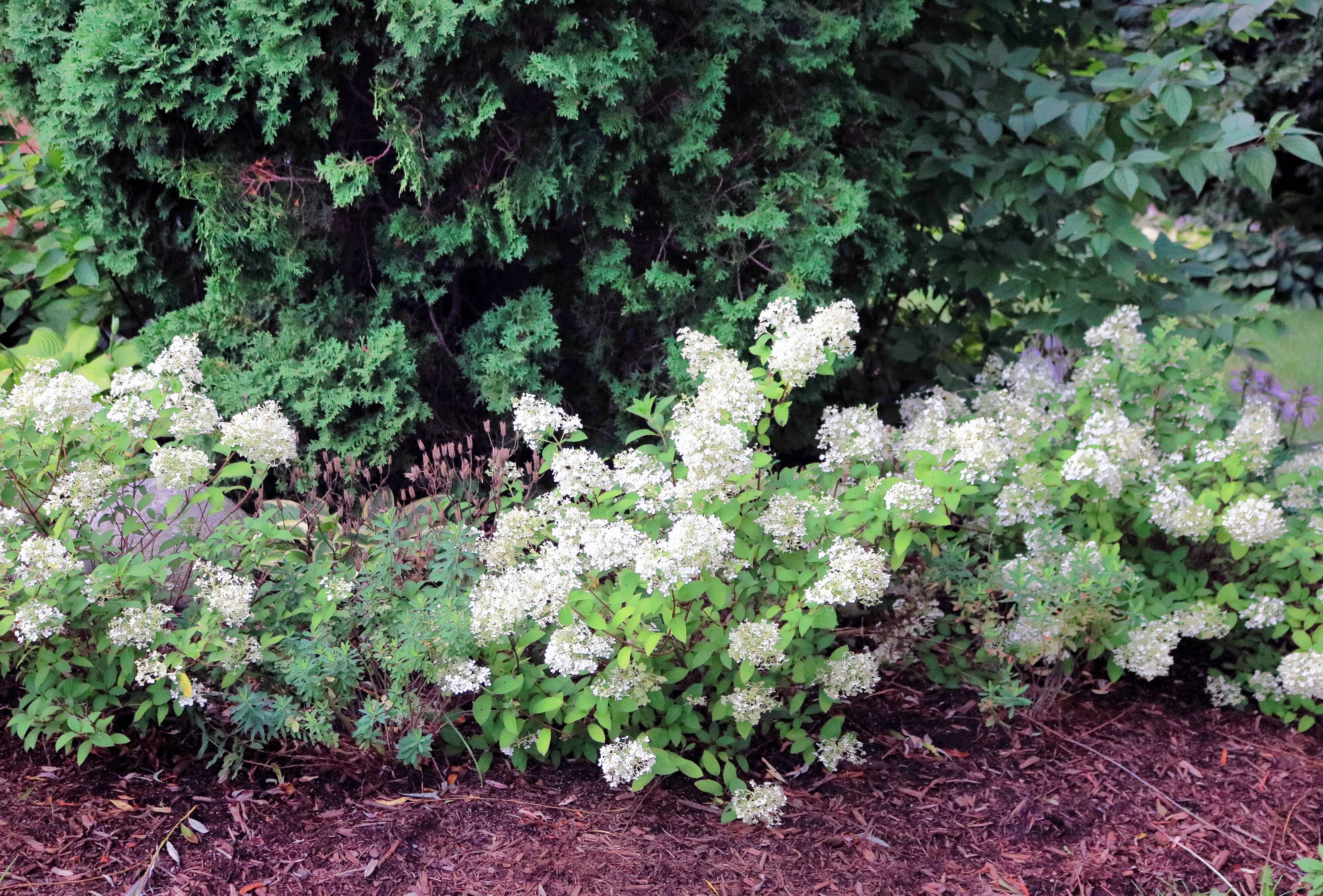 Bobo hydrangeas can be planted in place of day lilies, which require constant deadheading.