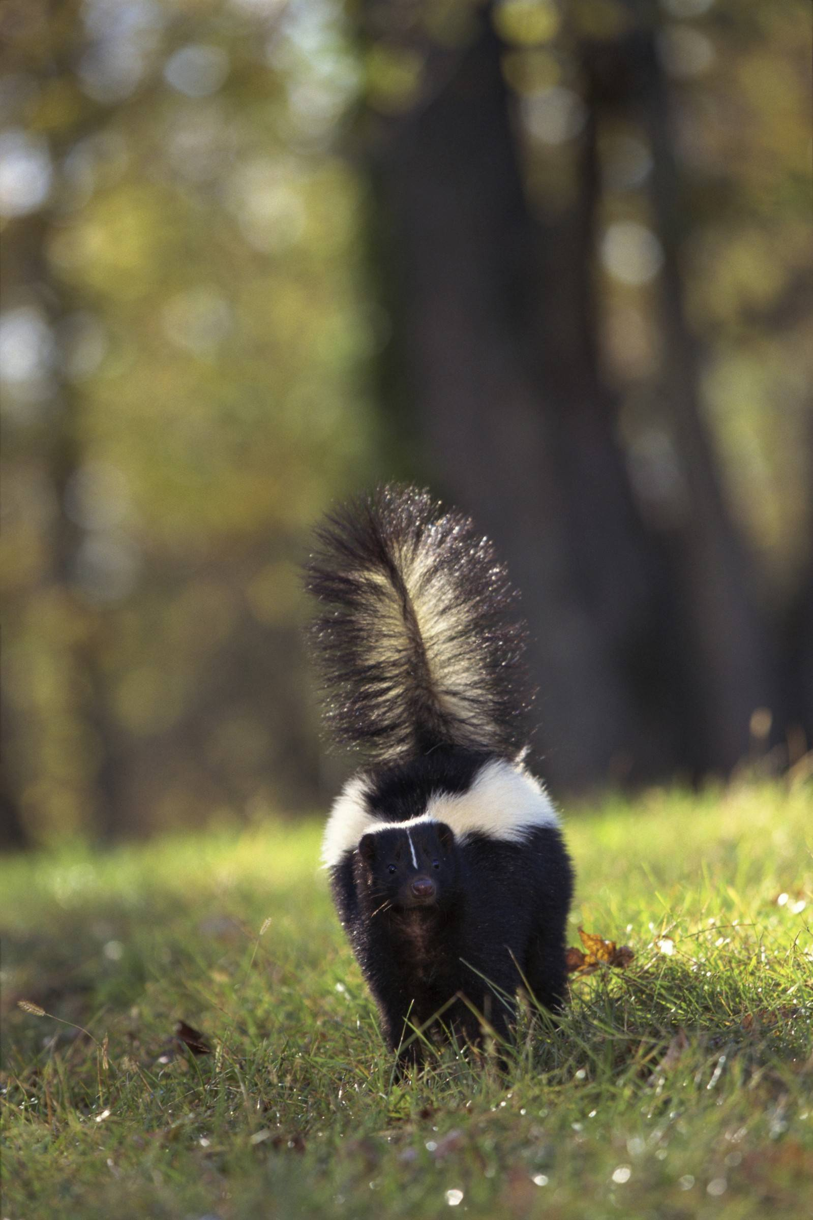Vernon Hills trying to end skunk stink, offers reward for trapping them