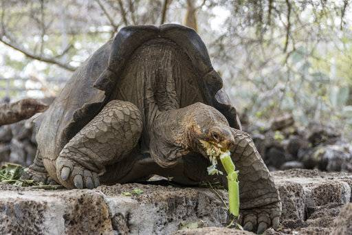 This photo released by Galapagos National Park on Wednesday, Sept. 12, 2017 shows a turtle with genes from an extinct species of turtles that disappeared about 167 years ago, in Santa Cruz, Galapagos Islands, Ecuador. The species, Chelonoidis elephantopus, endemic to Floreana Island, was believed to be lost forever, but its genetic trail was found by chance on Wolf Volcano. (Galapagos National Park via AP)