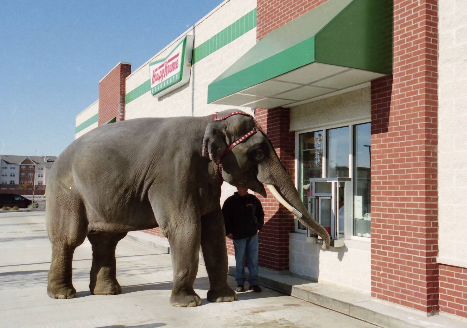 Bo, a Ringling Bros. Barnum and Bailey Circus elephant, inquires about a takeout order from the Rosemont Krispy Kreme on Nov. 10, 2001.