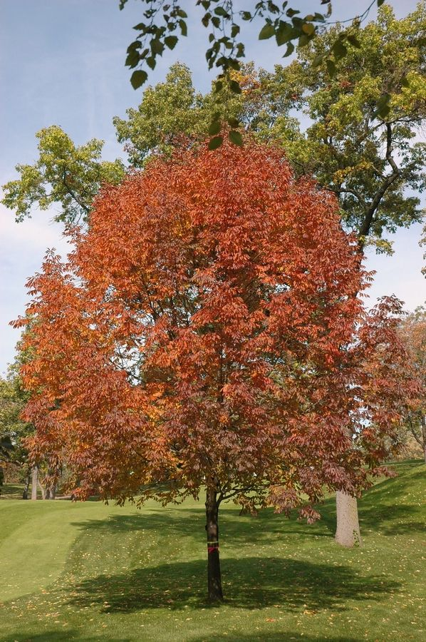 The white ash tree is on the brink of extinction, according to the IUSN Red List of Threatened Species.