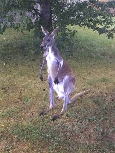 This undated photo provided by The Kenosha County Sheriff's Department shows Joey, a kangaroo who kicked his way out of a pen at a southeast Wisconsin pumpkin farm and was sighted on the loose along Highway L in Somers, Wisc., Thursday, Sept. 14, 2017. Deputies were dispatched and found Joey hopping down the highway. He was returned safely to the farm without injury. (Kenosha County Sheriff's Department via AP)