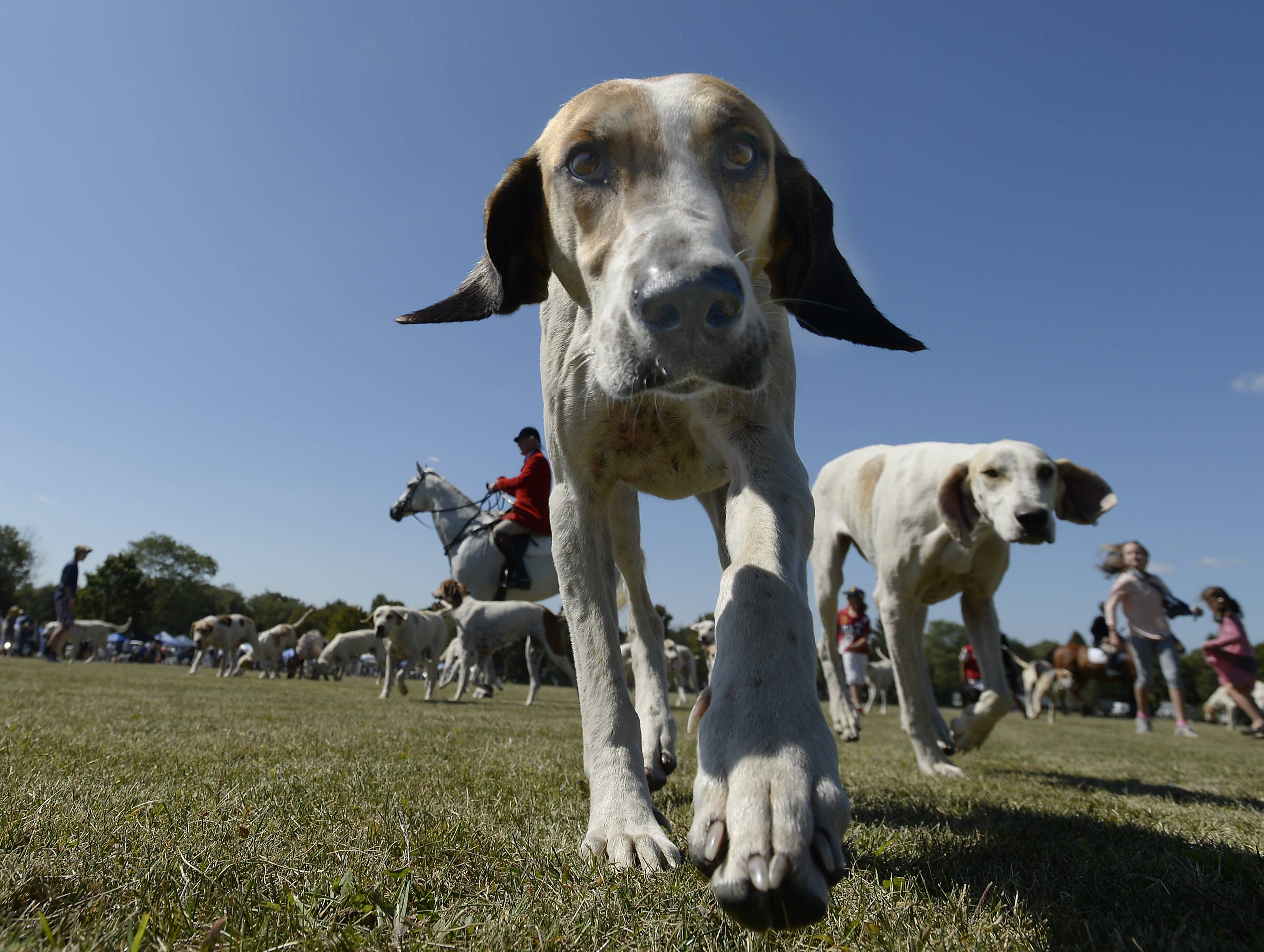 Mark Welsh/mwelsh@dailyherald.com Dogs followed their noses at the Running of the Hounds event at the 13th annual LeCompte/Kalaway Trailowners Cup Polo in Barrington Hills.