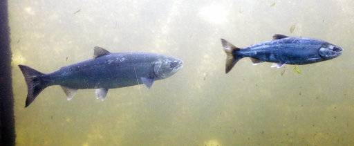 in this photo taken Thursday, Sept. 14, 2017, salmon, identified by biologists as a coho, left, and a Chinook, swim past viewing windows at a fish ladder where salt water transitions to fresh at the Ballard Locks in Seattle. The mass of warm water known as 'the blob' that heated up the North Pacific Ocean has dissipated, but scientists are still seeing the lingering effects of those unusually warm sea surface temperatures on Northwest salmon and steelhead. (AP Photo/Elaine Thompson)