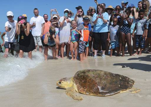 FILE - In this July 14, 2016 file photo a loggerhead sea turtle, is released back into the gulf after being treated for pneumonia at Gulf World Marine Institute, in Inlet Beach, Fla. Sea turtles are lumbering back from the brink of extinction, a new study says. Scientists found more populations of the large turtles improving than declining when they looked at nearly 60 regions across the globe. Their work was published Wednesday, Sept. 20, 2017, in the journal Science Advances.  (Heather Leiphart /News Herald via AP, File)