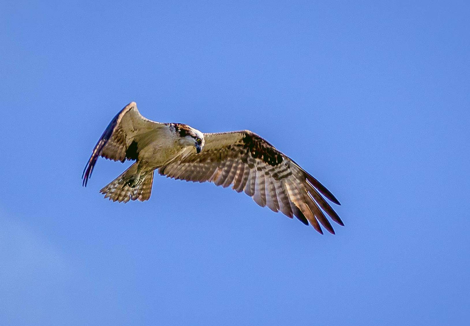 An osprey was recently spotted during a bird walk in Prospect Heights.
