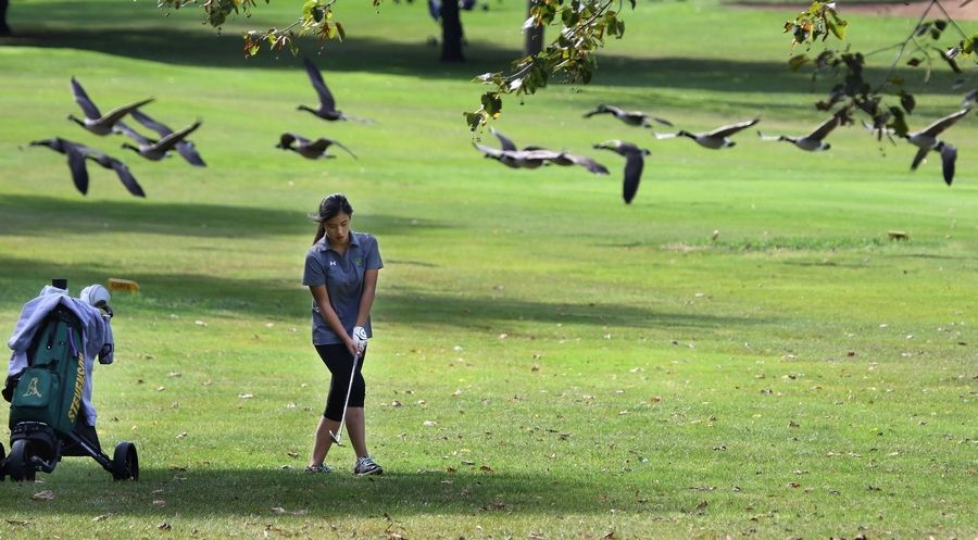 A flock of geese fly behind Stevenson golfer Kelly Dong while she lines up a shot on the sixth hole during the North Suburban Conference tournament Wednesday at Bonnie Brook Golf Course in Waukegan.